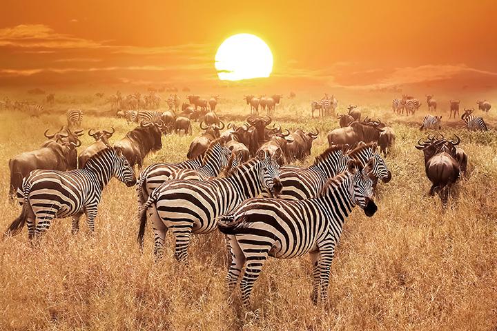 Zebra-istock.jpg