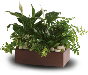 Quiet Expressions    This mix of spathiphyllum, ivy, dracena and maindenhair fern, accented with river rocks, is delivered in a brown bamboo rectangle.    Buy Now>>
