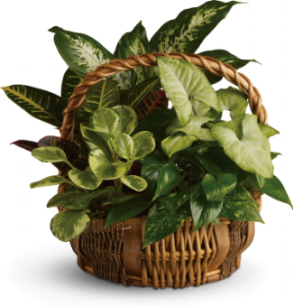 Emerald Garden Basket    Mixed green plants, including a croton plant, dieffenbachia plant and pink nepthytis plant, are presented in a natural gift basket with handle.    Buy Now>>