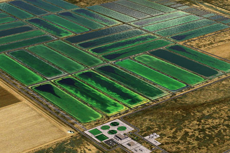Algae can be grown on the large scale, and in turn can mass produce compounds of interest for our own use. Photo credit: Arizona State University