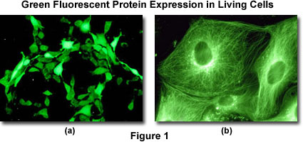 Example of cell characterization based on fluorescent protein markers. Credit: Olympus Lifescience