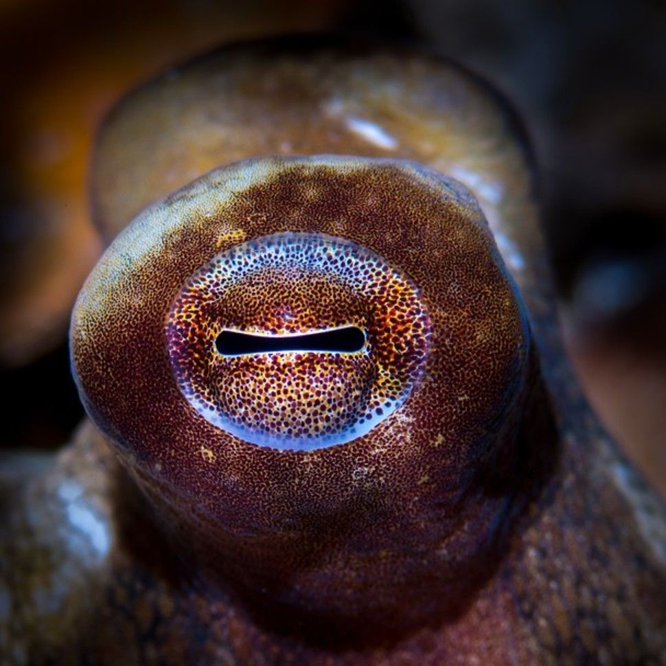 The eye of the octopus works in the same way as our own, but evolved completely differently. Photo credit: National Geographic