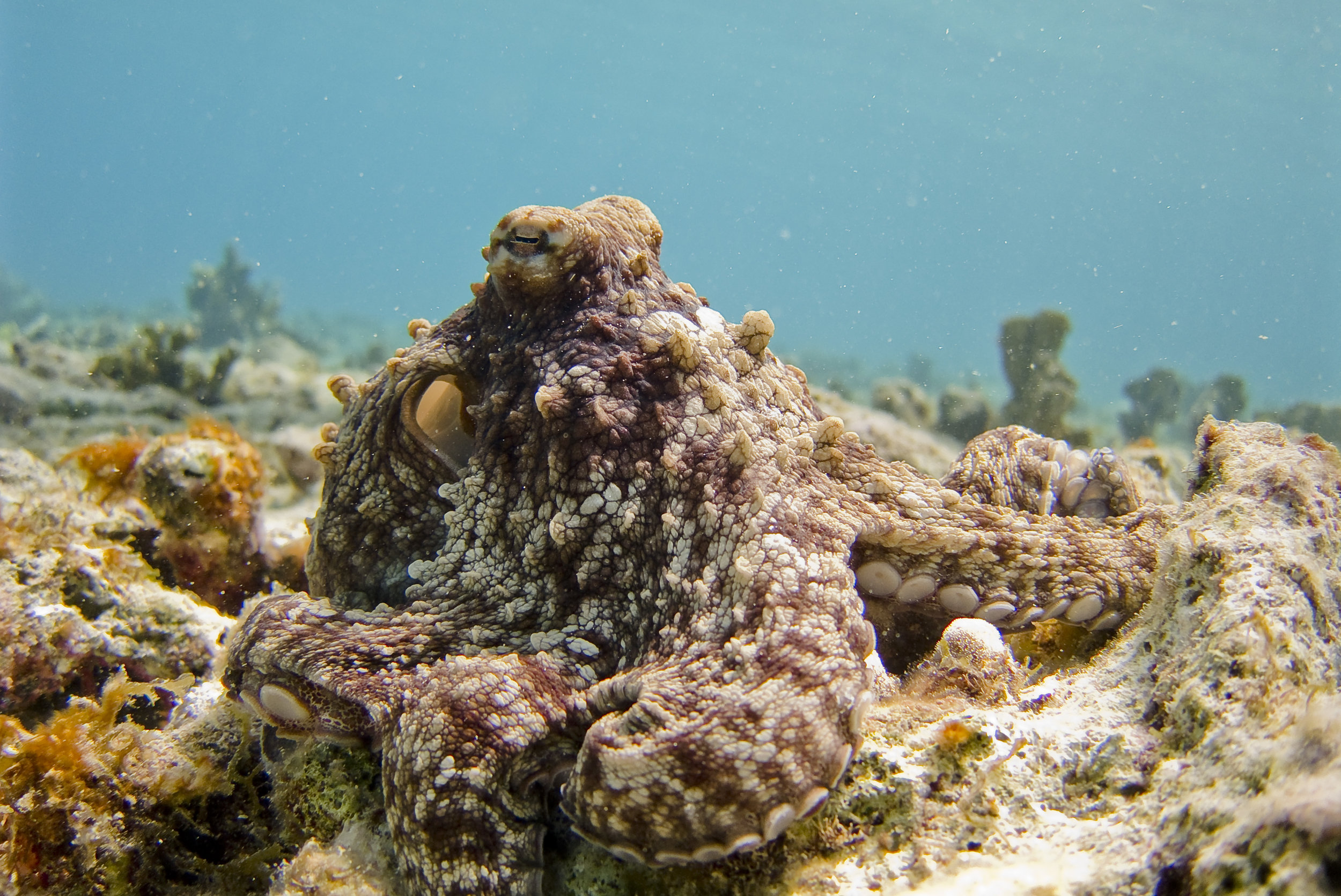 A friendly octopus disguised on a reef. Photo credit: Vlad Tchompalov