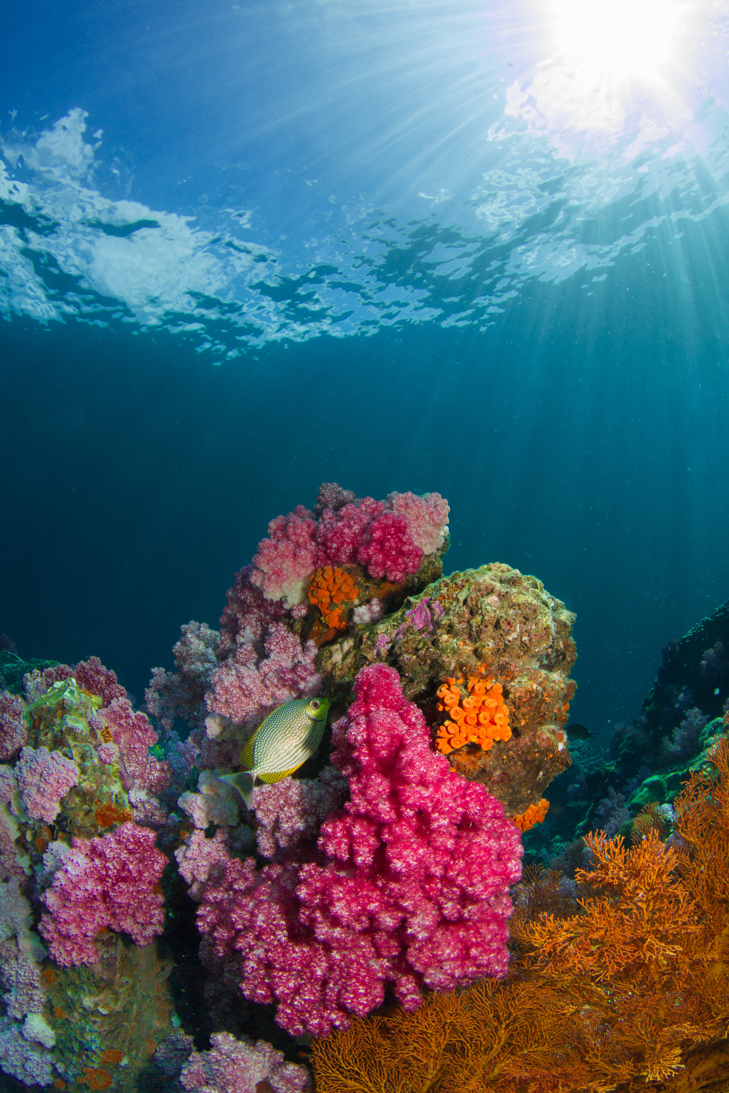 Coral reefs are known for their beautiful colors, which come from the communities of colored algae in their tissues. Photo credit: Milos Prelevic