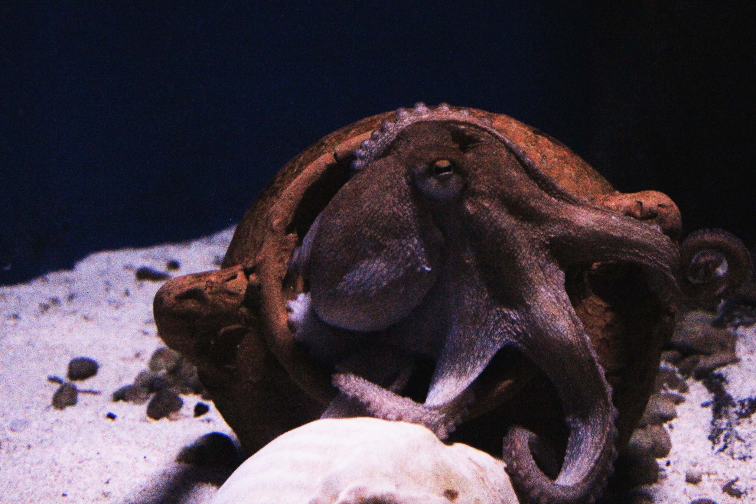 Octopuses in captivity are charismatic, active, and highly intelligent. Photo credit: Janayara Machado