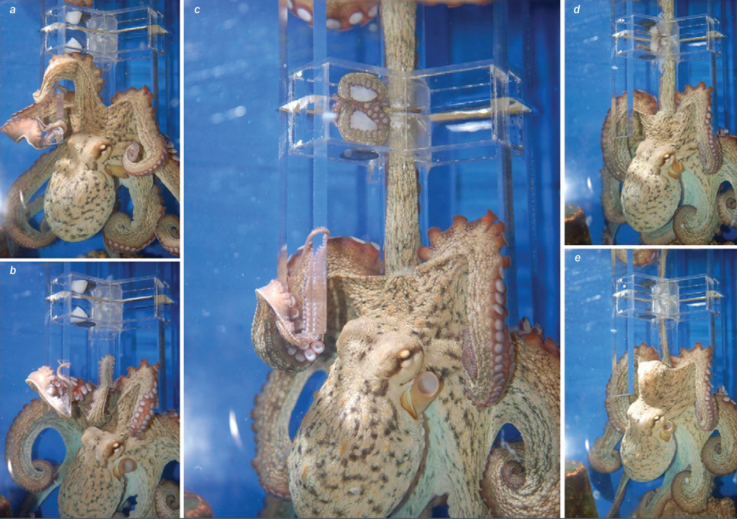 The octopus uses its eyes as a guide, but its arm functions independently from the brain in searching for food through this maze. Photo credit: Scientific American