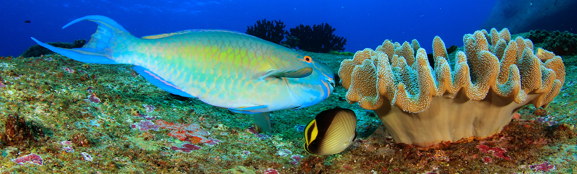 Parrotfish graze on the algae on reefs, allowing corals to grow without competing for space. Photo credit: Caradonna Adventures
