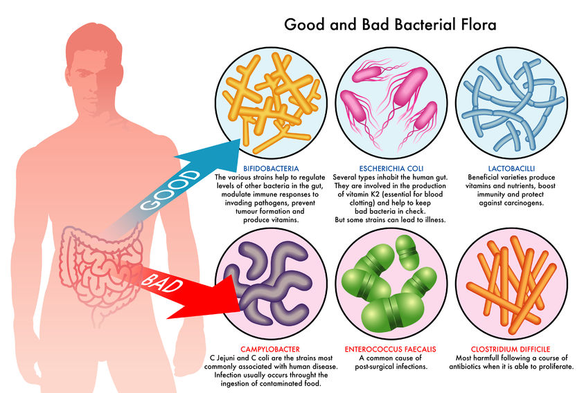 The human gut harbors both beneficial and harmful bacteria, which can each affect the body in a completely different way. Proliferation of a certain type of harmful bacteria is what leads to gastrointestinal problems such as diarrhea. Credit: Intentio Fitness