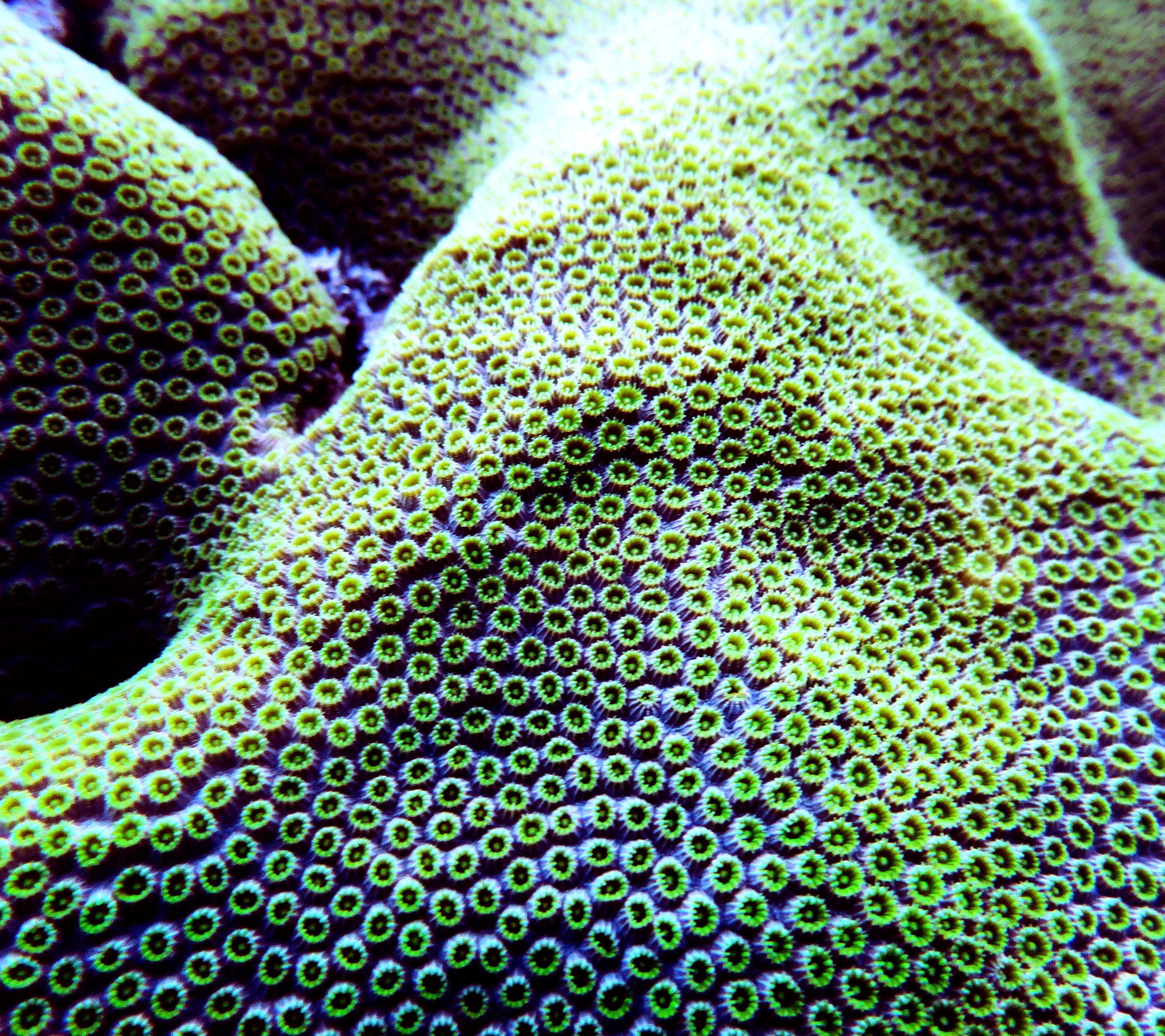 Orbicella faveolata  polyps by day.