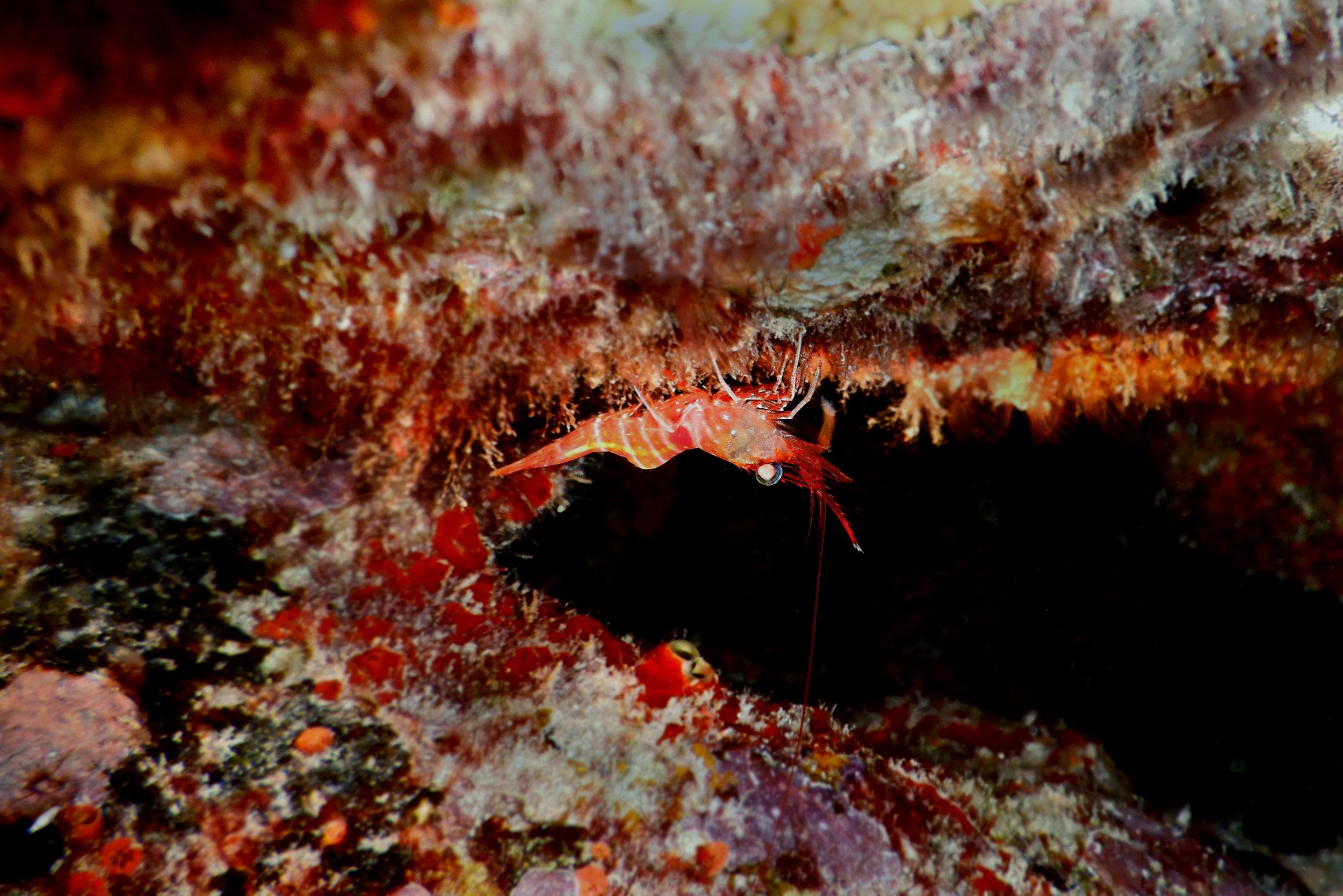 A shrimp picks algae off the underside of an  A. palmata  colony.