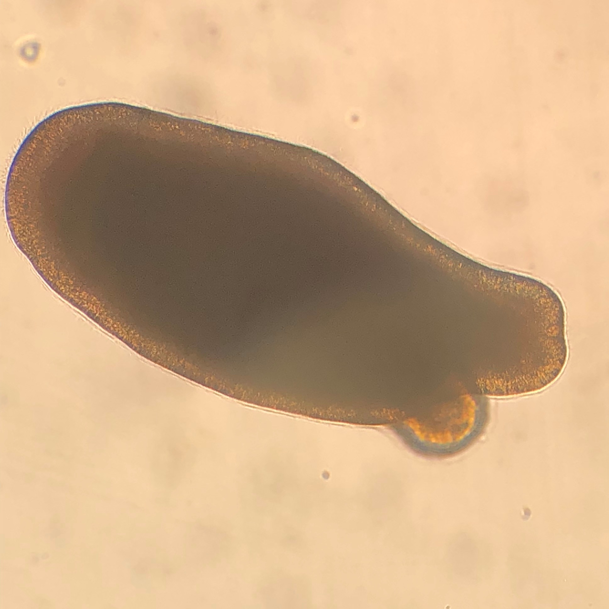 A 3-day-old, actively swimming  Diploria labyrinthiformis  larva.
