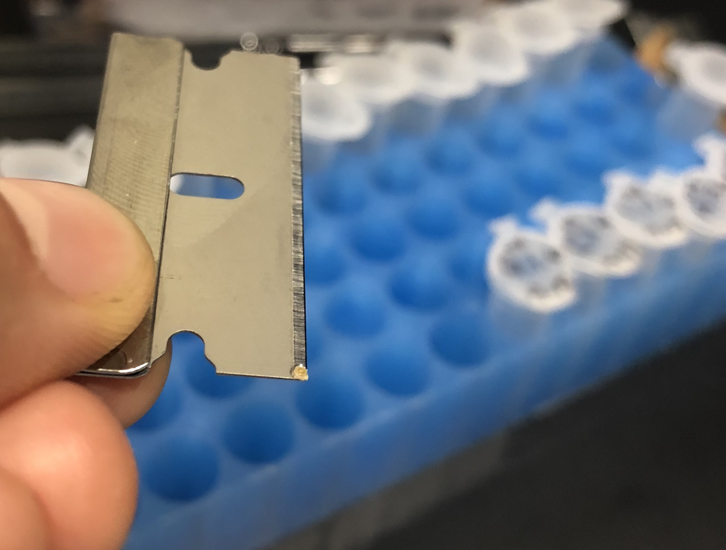 To collect data on which symbiont types a recruit is hosting, I have to sacrifice it with a razor blade. A single recruit - approximately 1 millimeter in diameter - is on the end of the razor blade above.