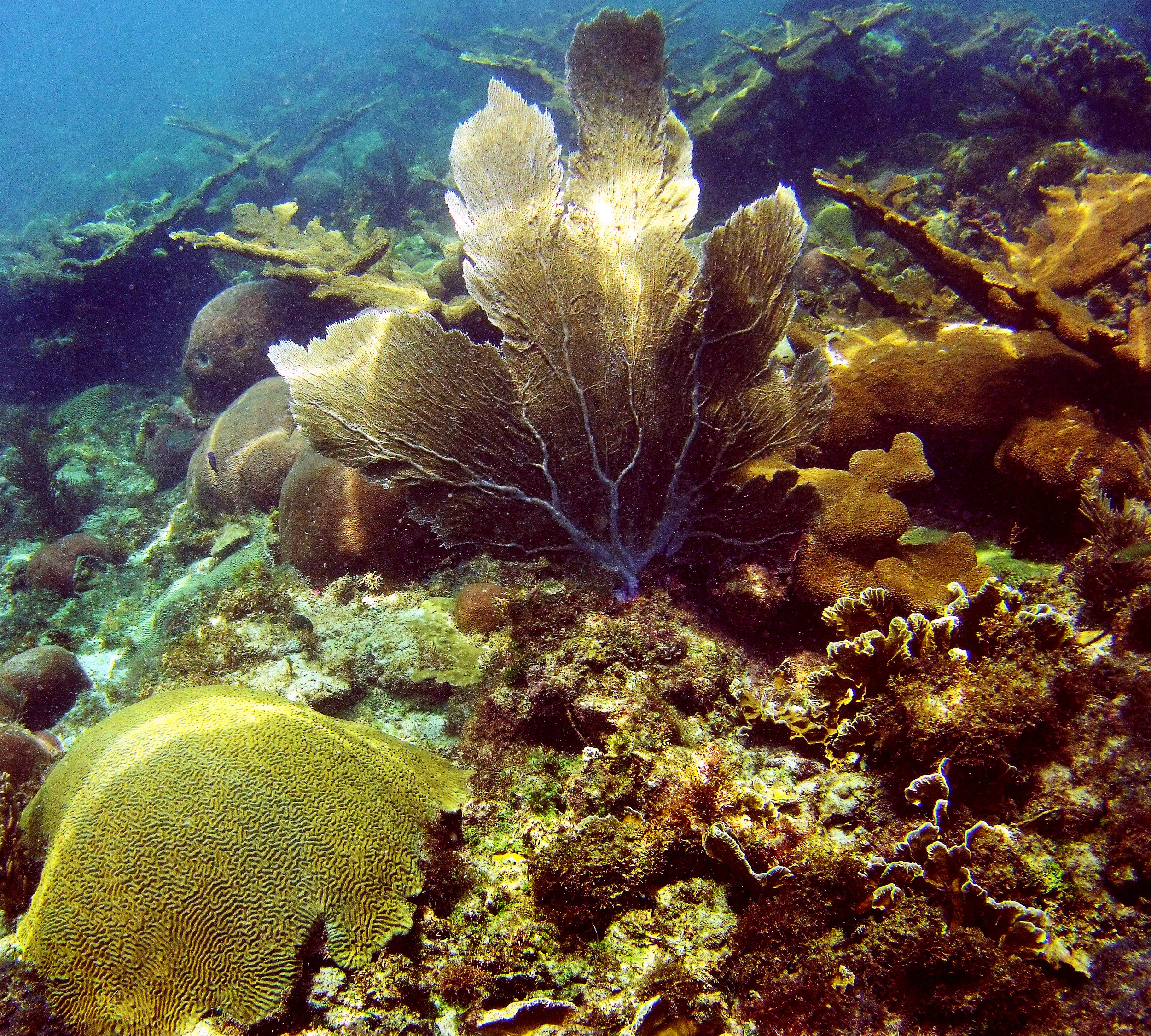 A healthy reef with a variety of hard coral species off the coast of Bocas del Toro, Panama. Few reefs in the Caribbean remain this healthy.