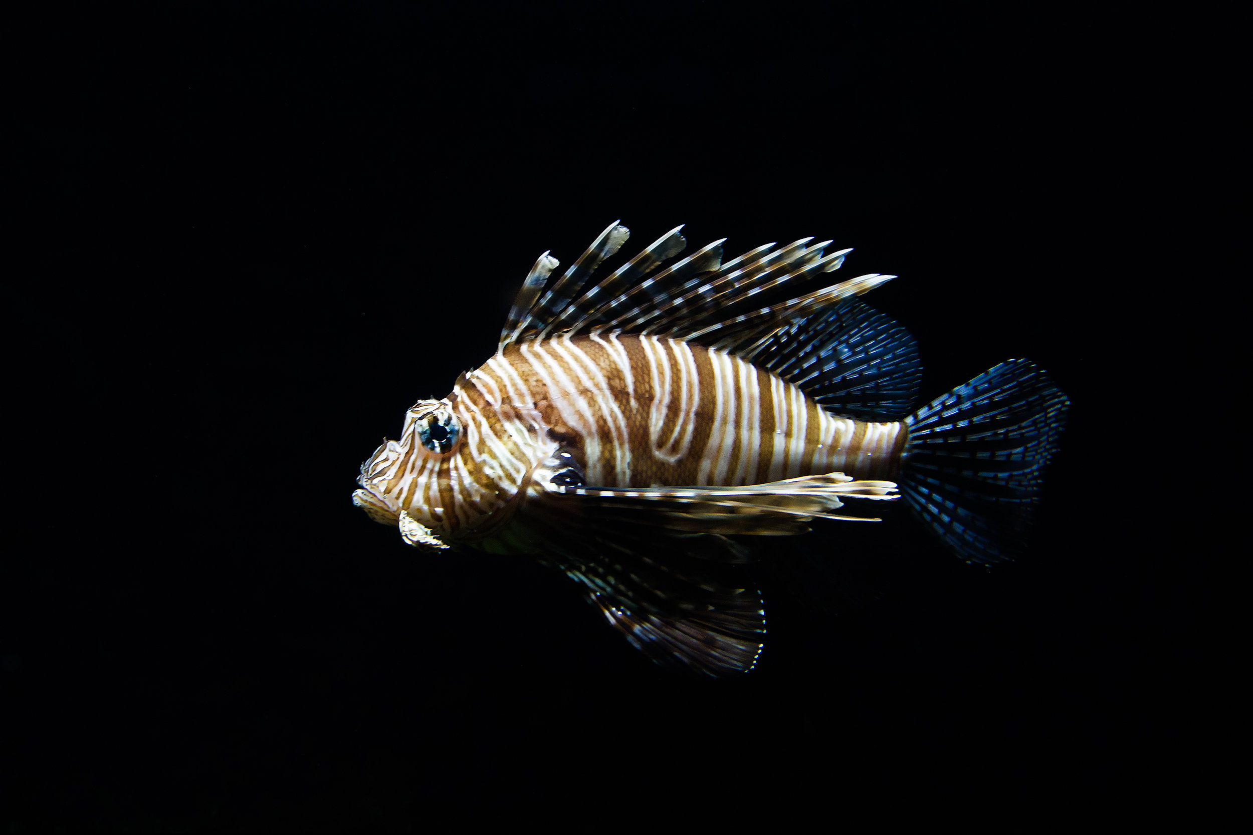 Lionfish, brought to the Caribbean by shipping vessels from the Indo-Pacific, have caused mass extinctions of plant and animal species in the Caribbean region due to being voracious predators, fundamentally altering the ecosystem. Photo credit: Mathijs Vos
