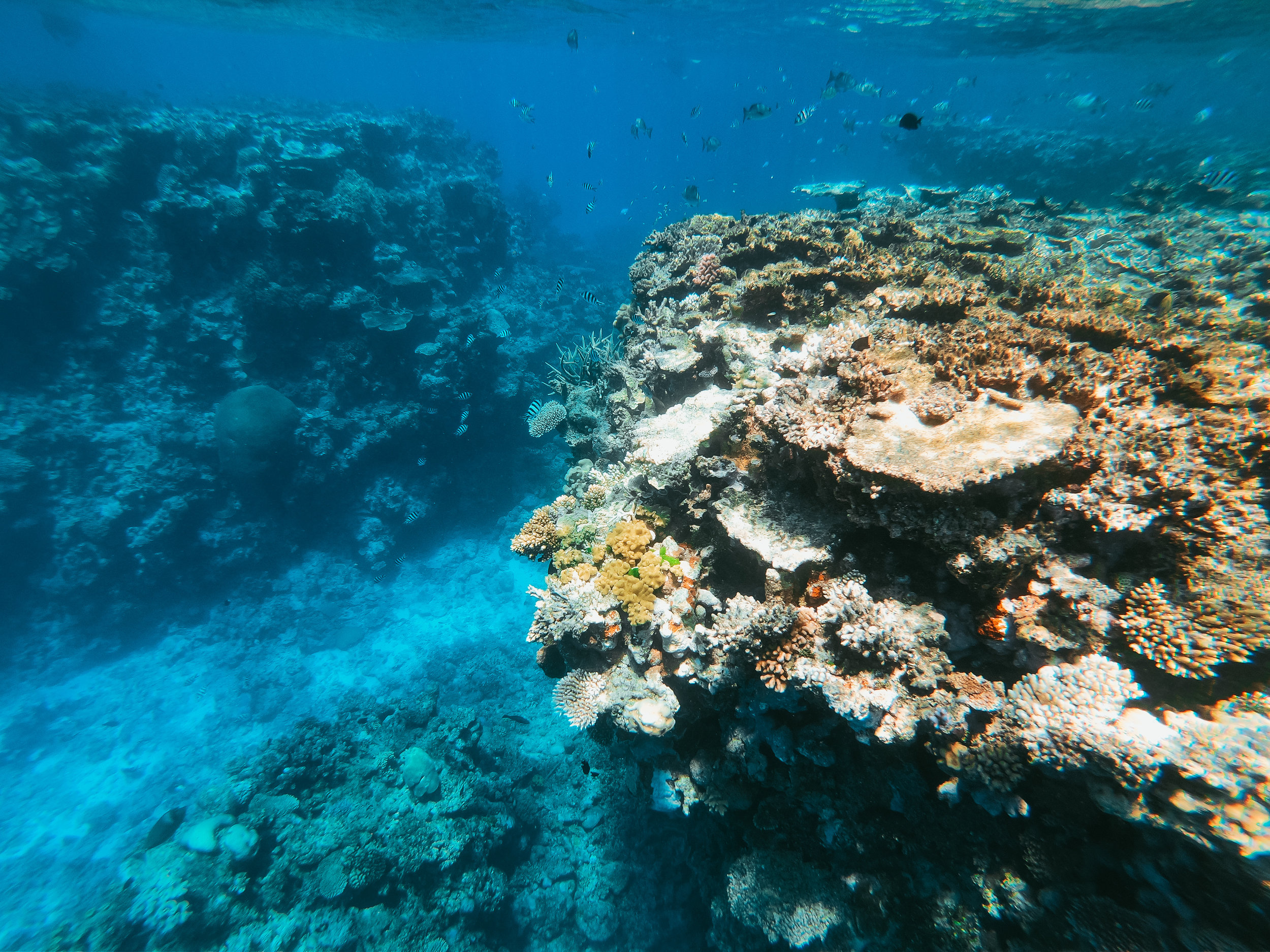 The bacteria associated with a coral reef are critical to keeping the whole environment healthy. However, small changes can turn a healthy community of bacteria into a damaging one, and fast. Photo credit: Fezbot