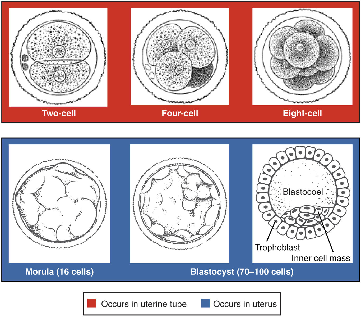 X chromosome inactivation happens during the Blastocyst stage, when the developing organism is only ~70-100 cells. Organisms continue to develop into billions of cells.