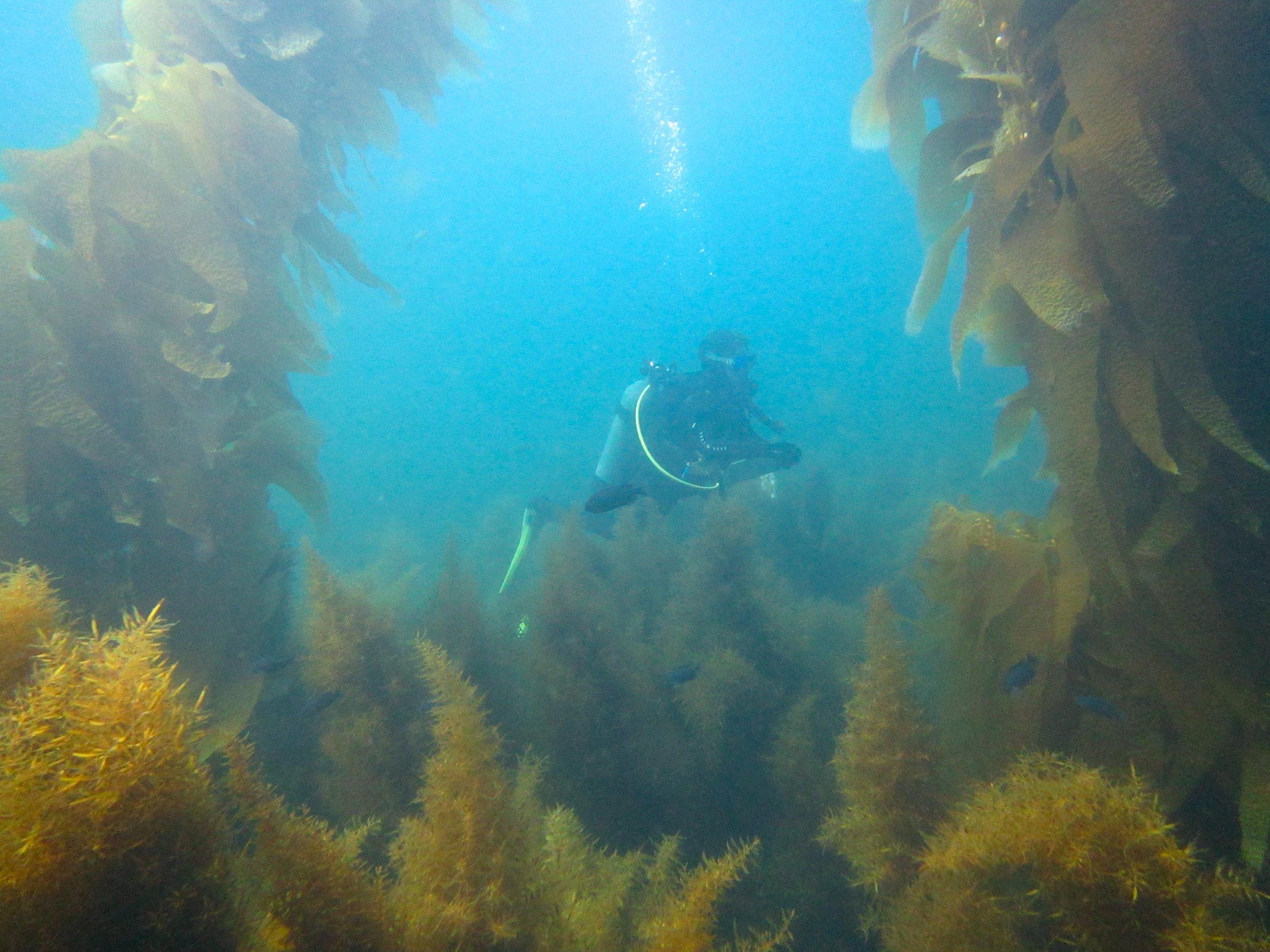 Undergraduate Hayden Bursch swimming through a site in which kelp is losing the battle with  Sargassum . Photo credit: Jason Baer