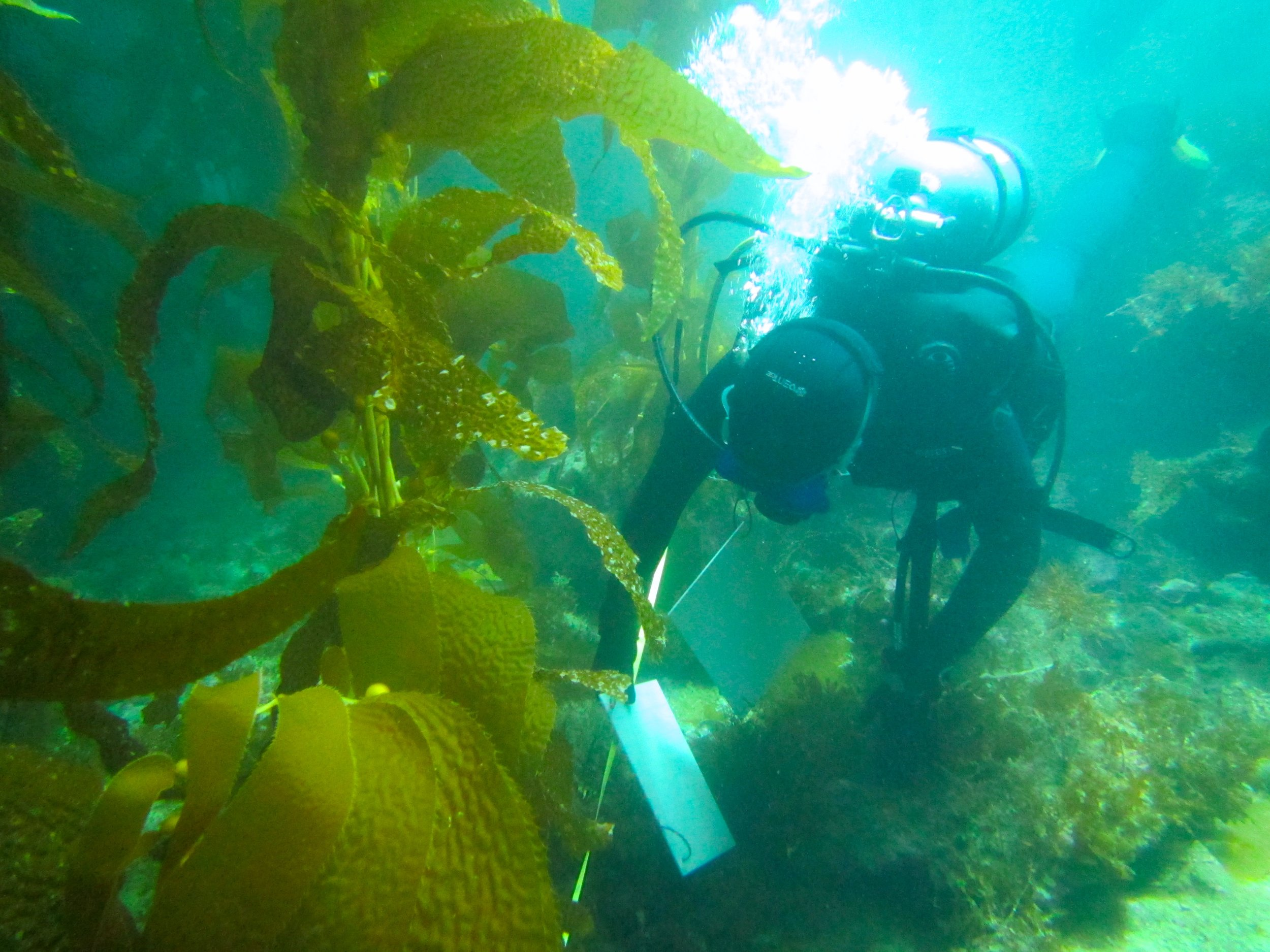 PhD student Laís Lima collecting data about the frequency of kelp and  Sargassum  in the ecosystem using a transect line. Photo credit: Jason Baer