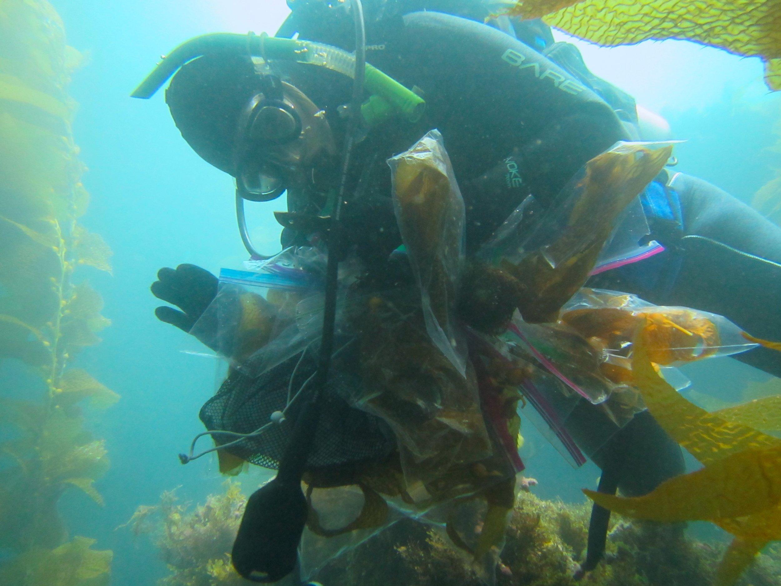 Dr. Elizabeth Dinsdale collecting kelp and  Sargassum  samples for later analysis. Photo credit: Jason Baer