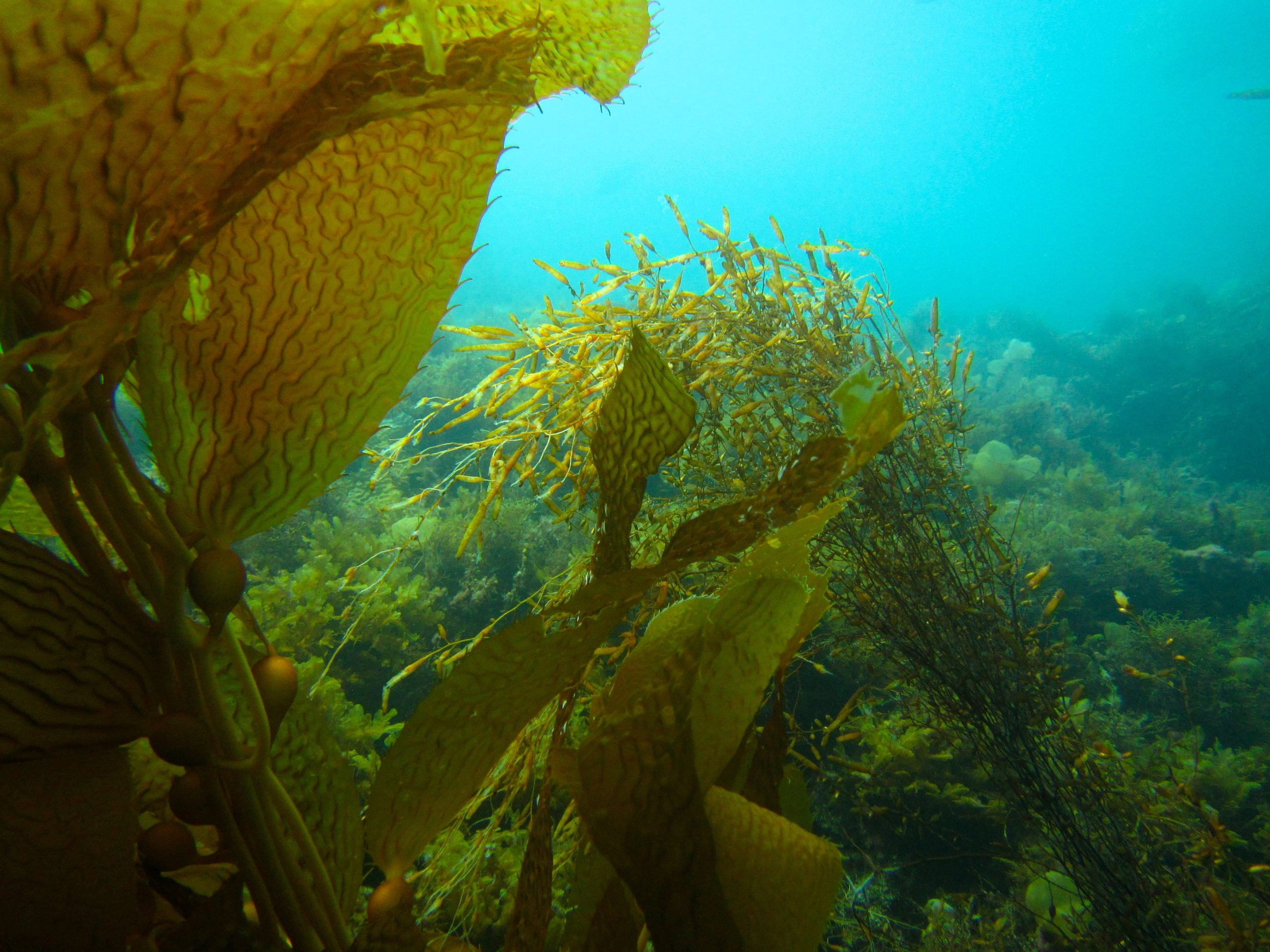 Kelp and  Sargassum  growing in close proximity to each other compete for space, nutrients, and light. Photo credit: Jason Baer