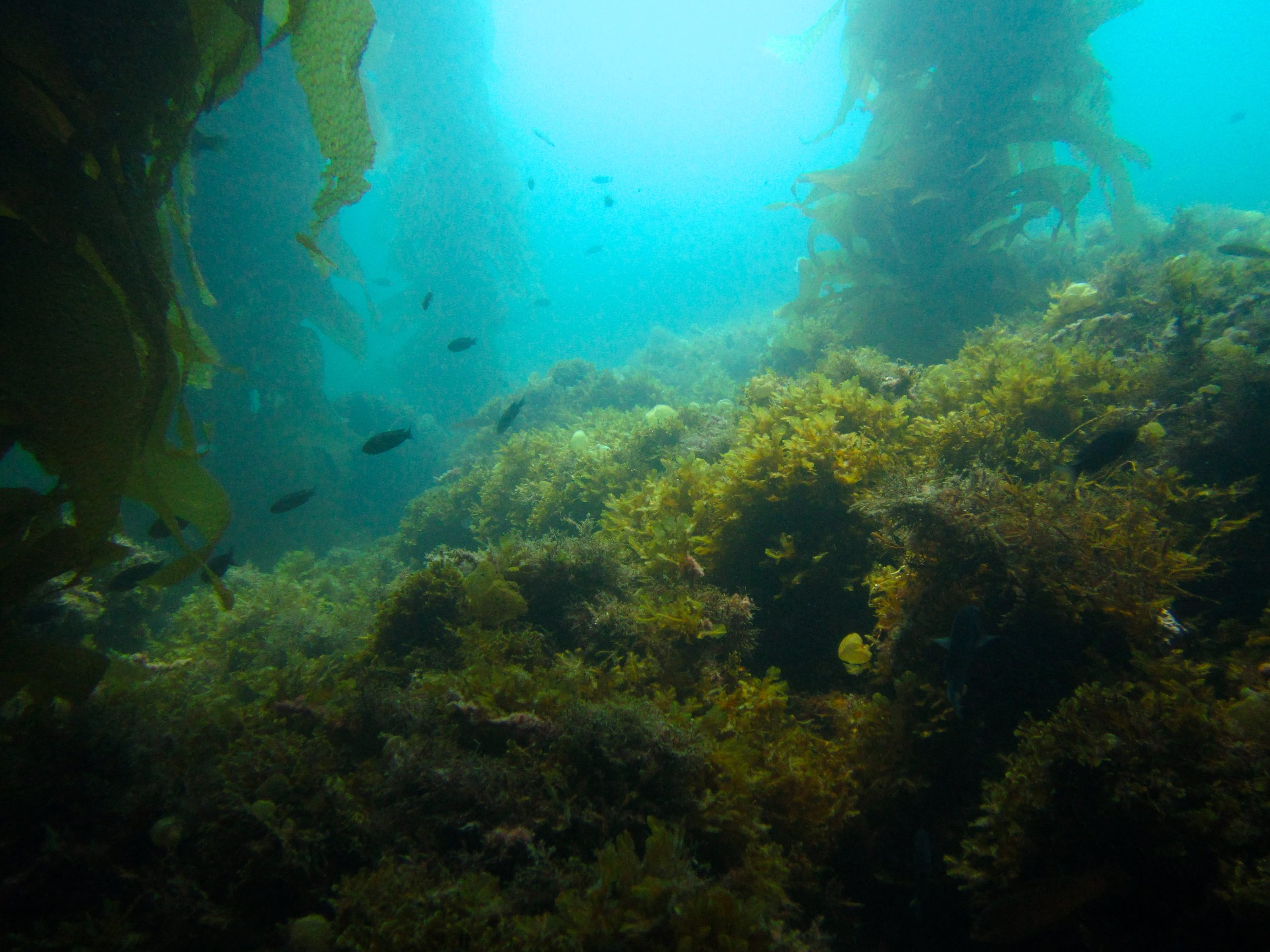 In a healthy kelp forest, the seafloor is kept relatively clear of algae that compete with kelp by grazers, such as urchins. Photo credit: Laís Lima