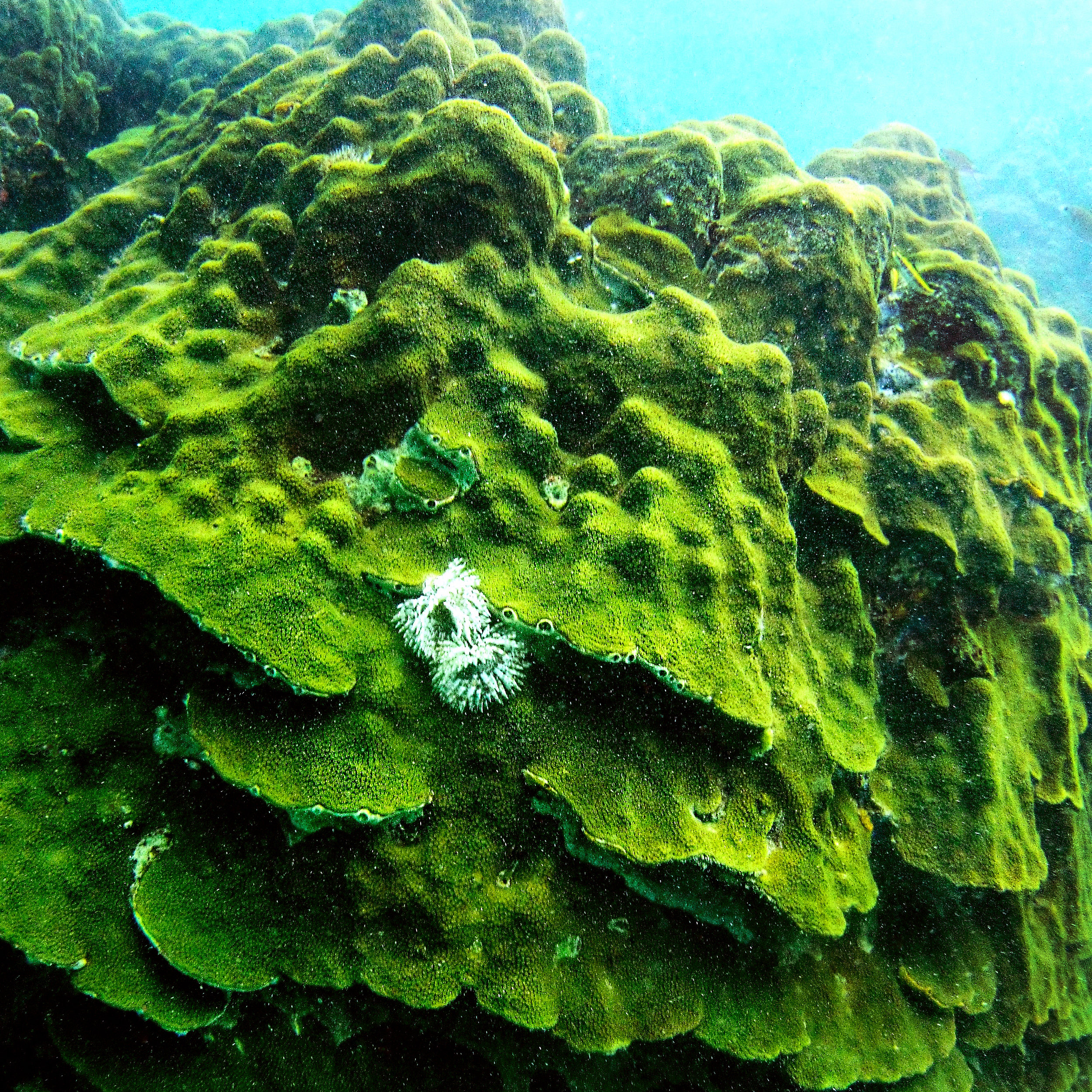 A massive, healthy colony of  Orbicella faveolata , also known as the mountainous star coral.