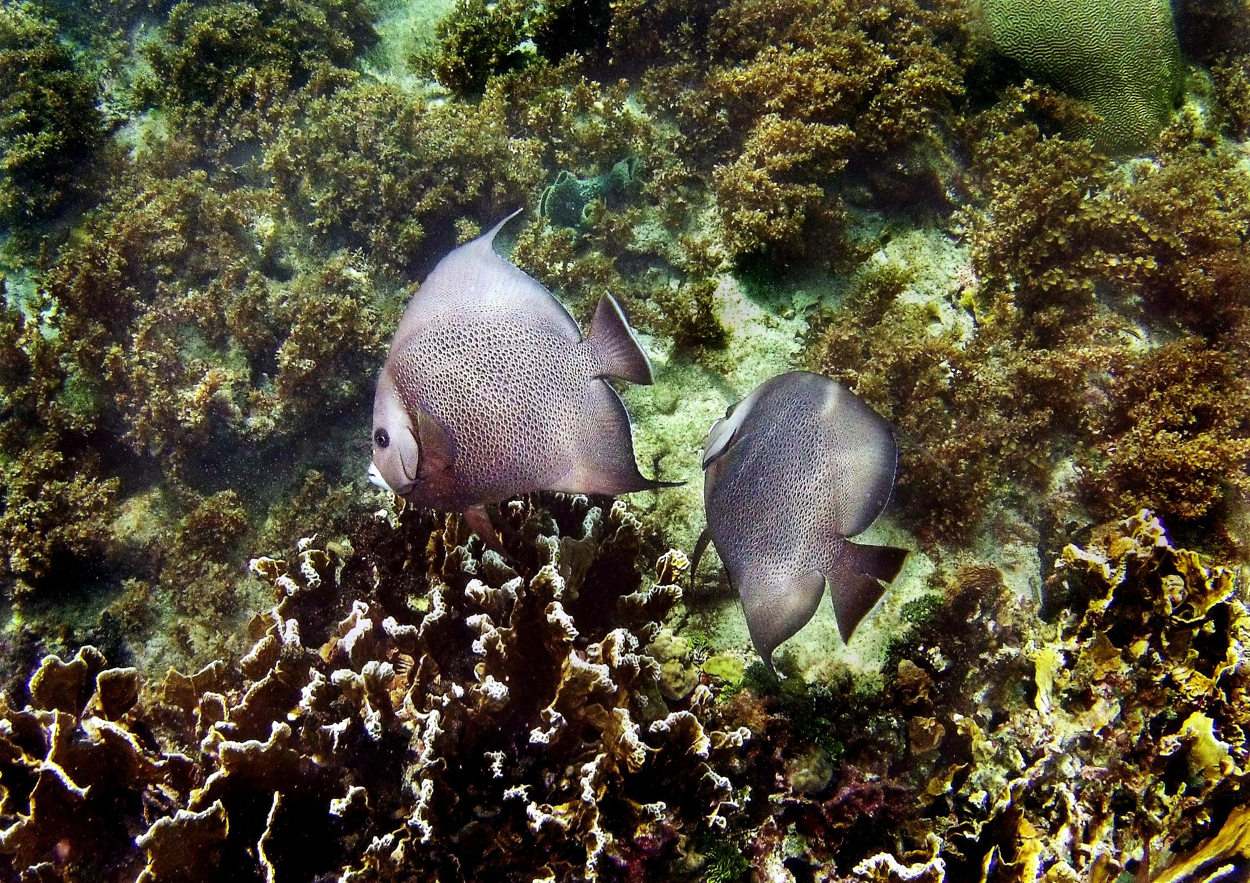 Two grey angelfish ( Pomacanthus arcuatus ).