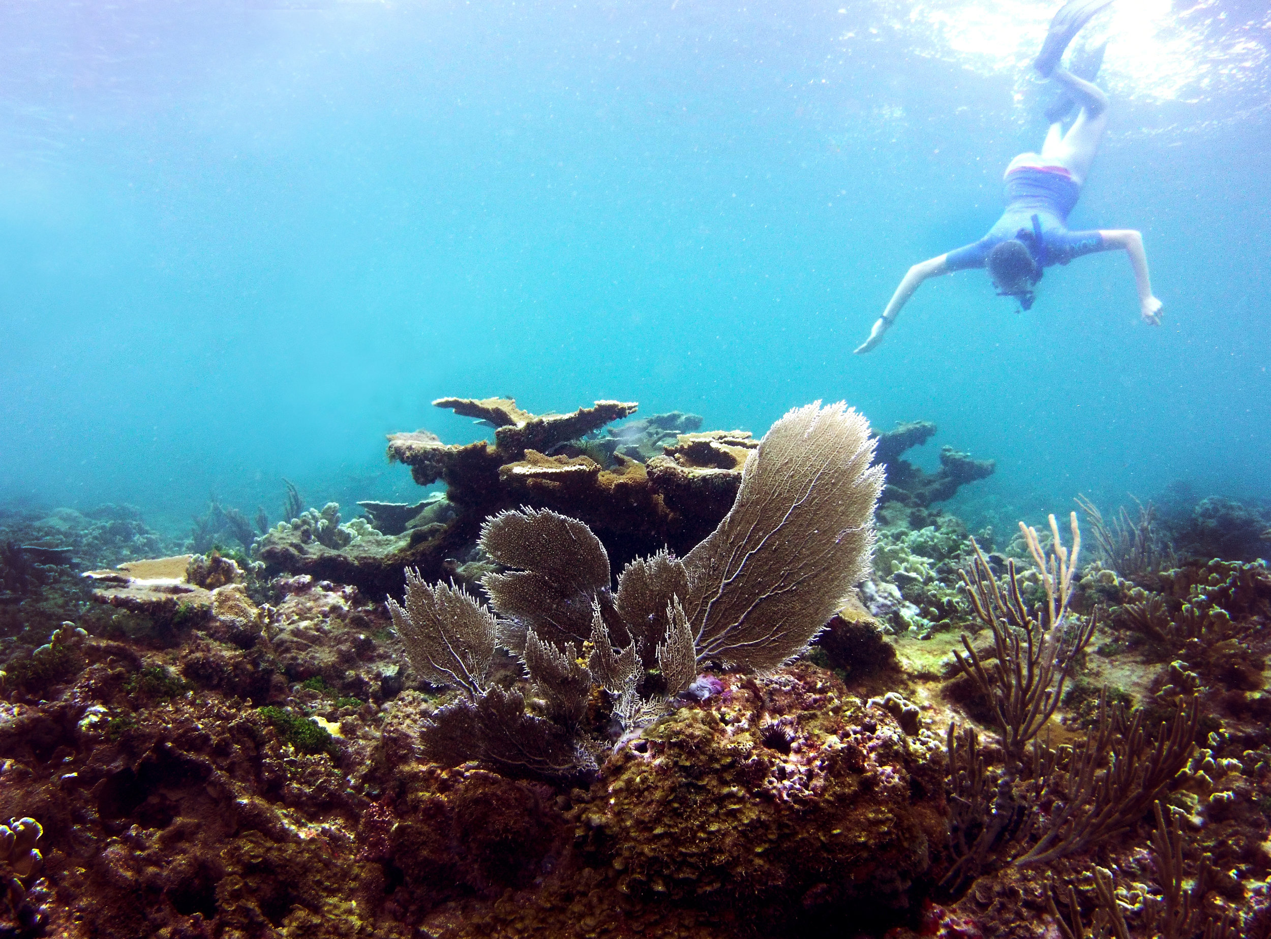 A snorkeler dives down to get a better view of the reef.