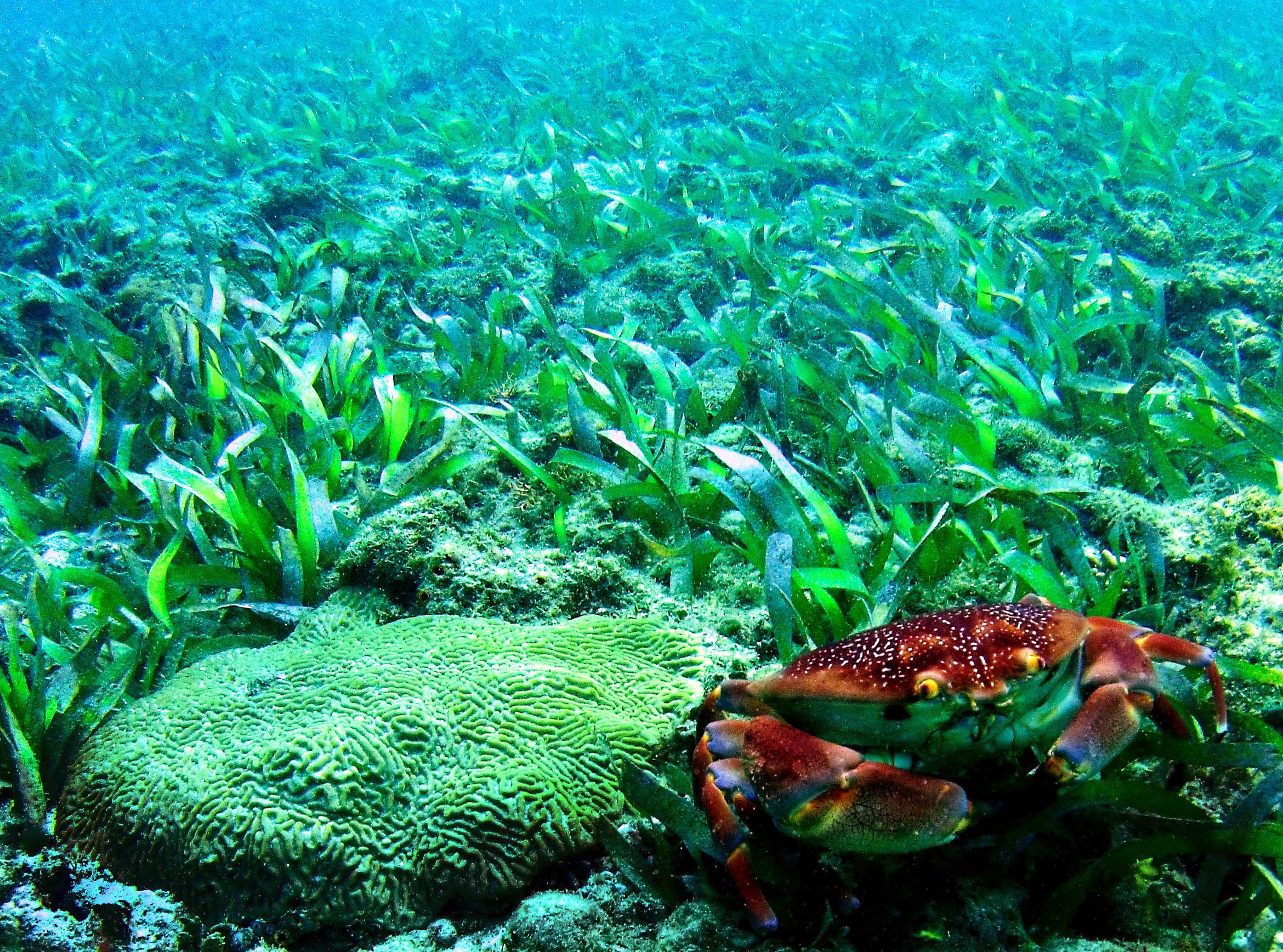 A batwing coral crab ( Carpilius corallinus ) stands beside a colony of knobby brain coral ( Pseudodiploria clivosa ) amidst a seagrass bed.