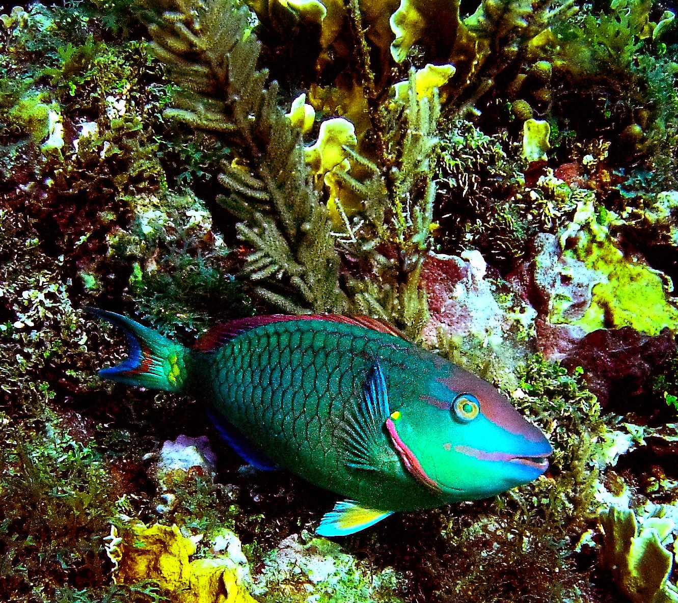 A stoplight parrotfish ( Sparisoma viride )