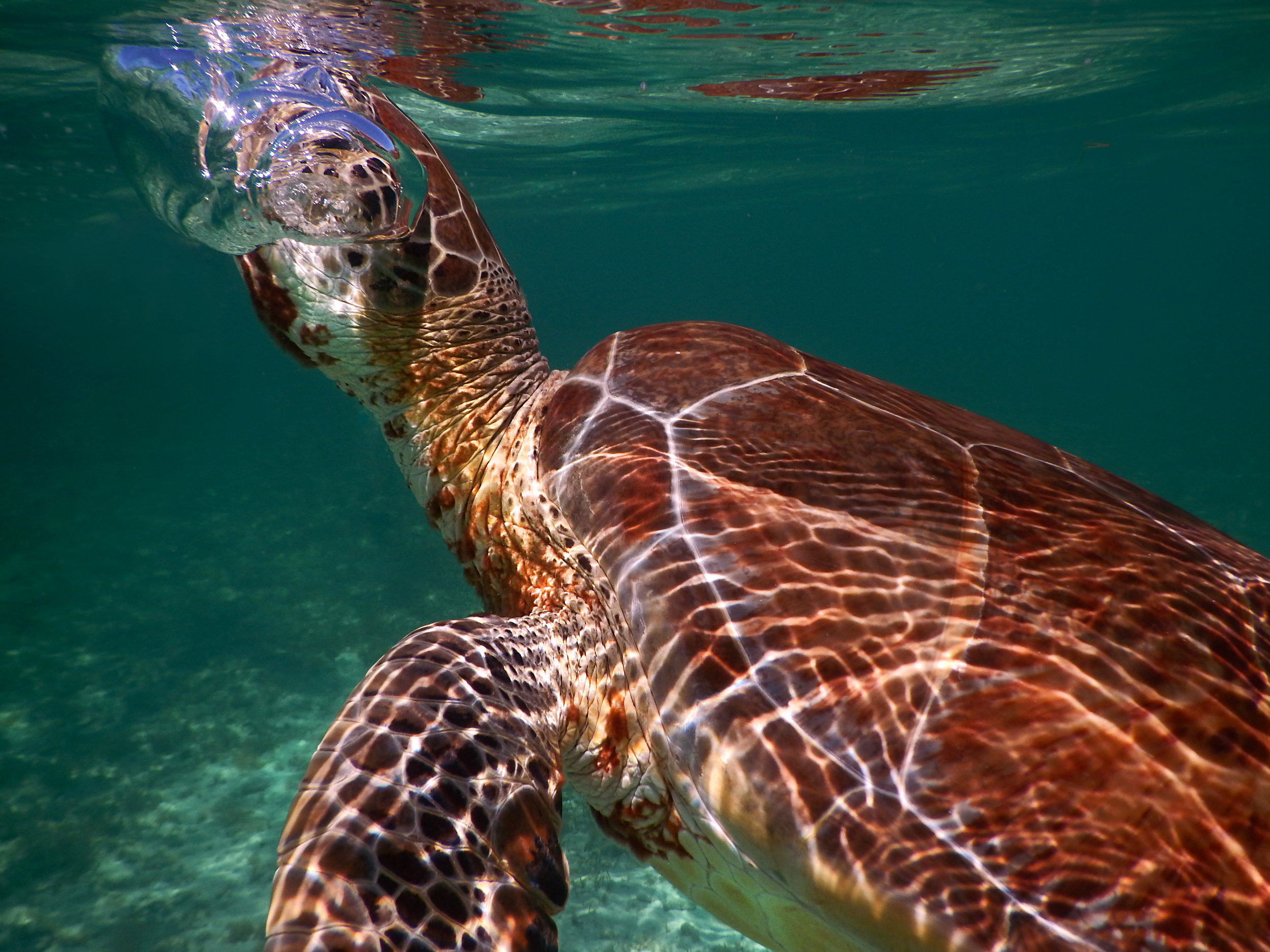A green sea turtle ( Chelonia mydas ) takes a breath at the surface off the coast of Nasau.