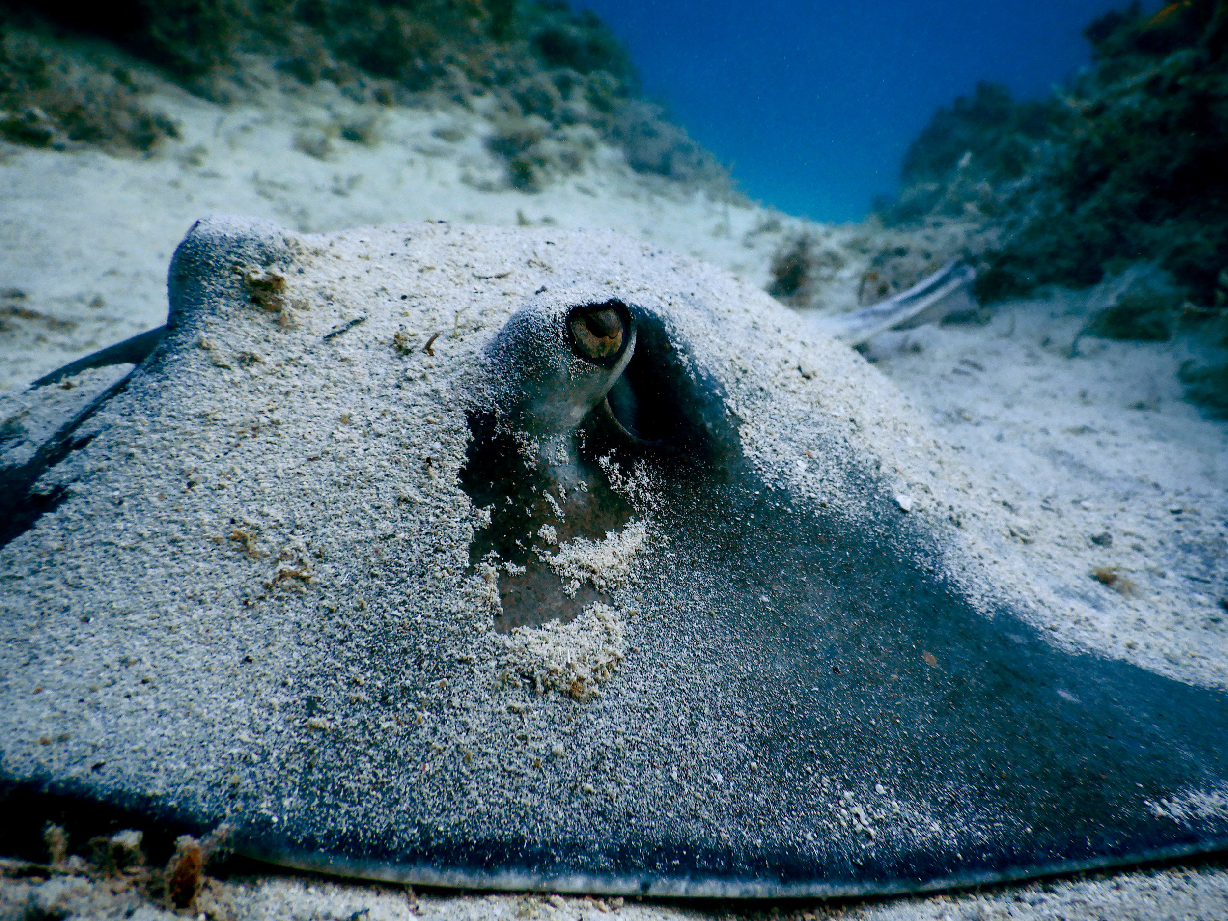 A southern stingray ( Hypanus americanus ) rests in the sand off Abaco.