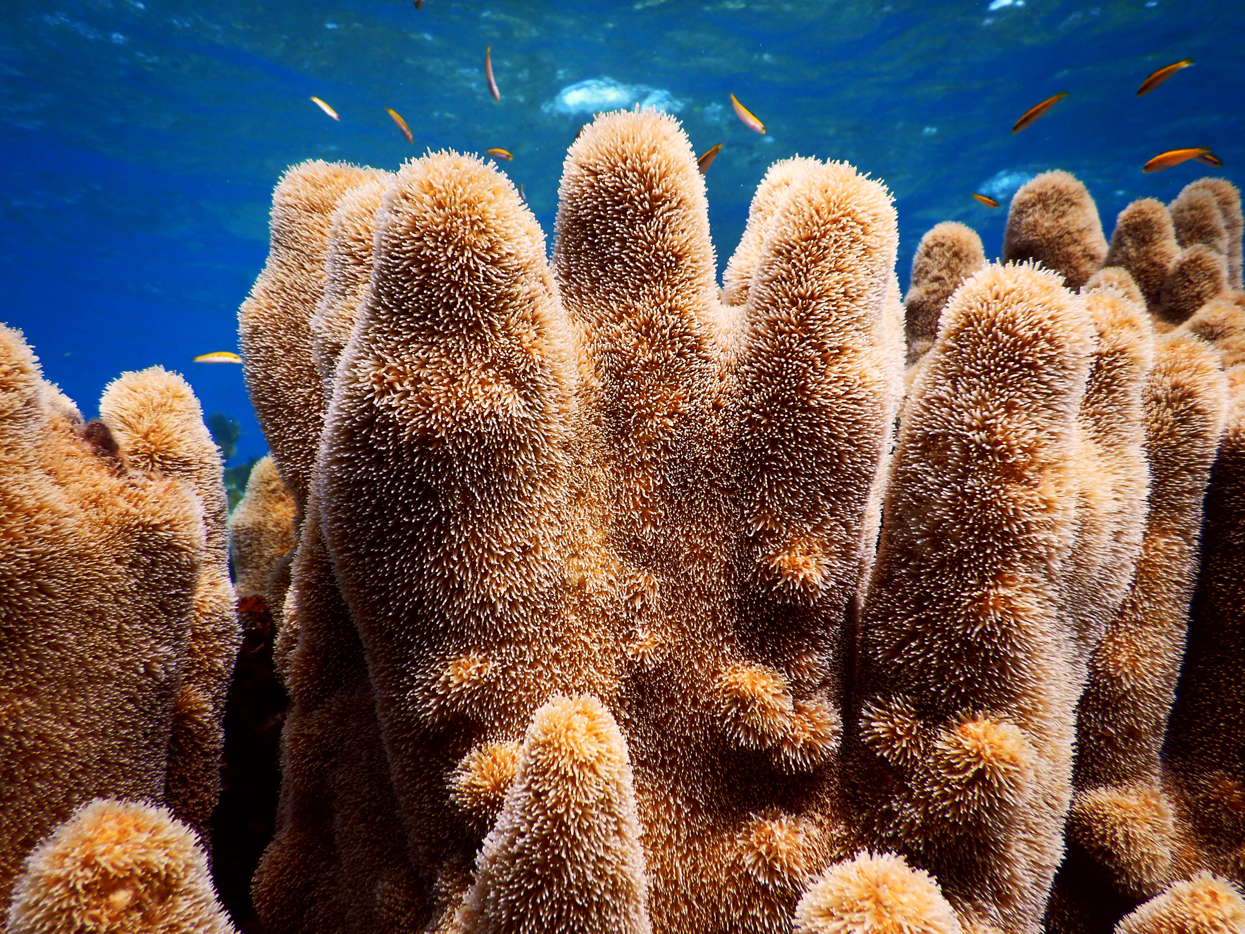 A large pillar coral ( Dendrogyra cylindrus ) colony off Abaco.