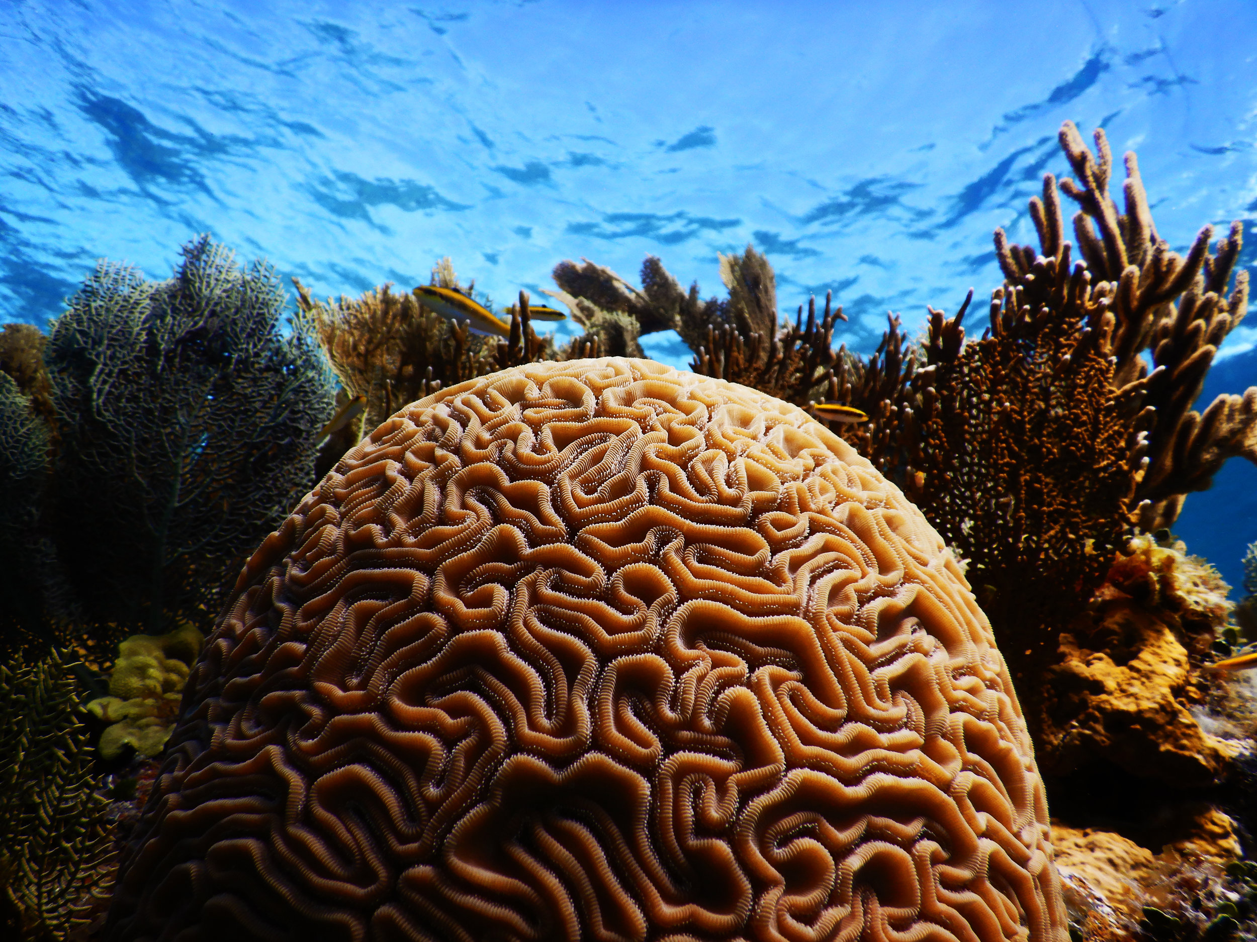 Grooved brain coral ( Diploria labyrinthiformis ) off the coast of Abaco.