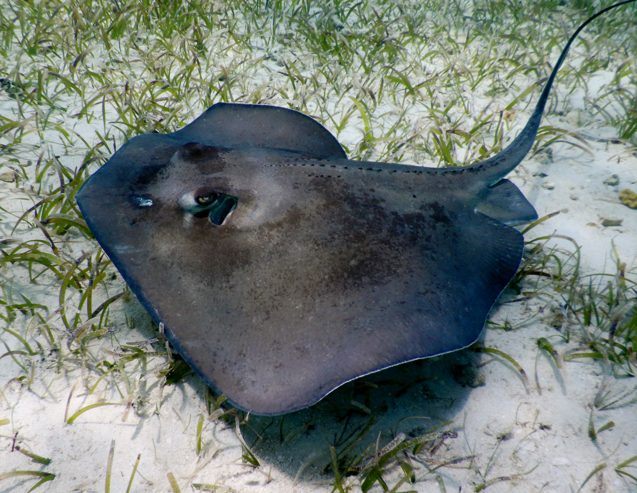 A southern stingray ( Hypanus americanus ) off the coast of Eleuthera.