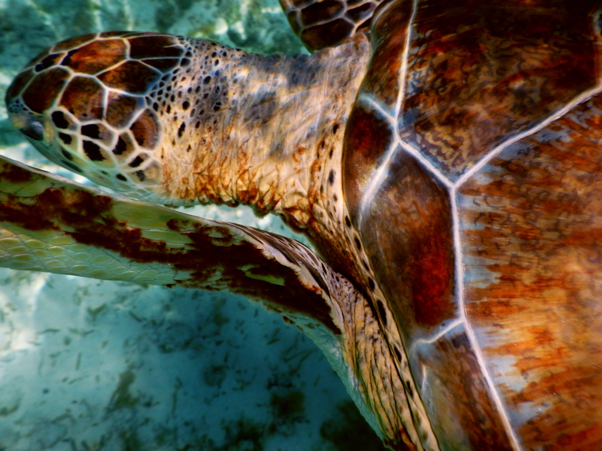 Intricate details on a green sea turtle's ( Chelonia mydas ) shell near Nassau.