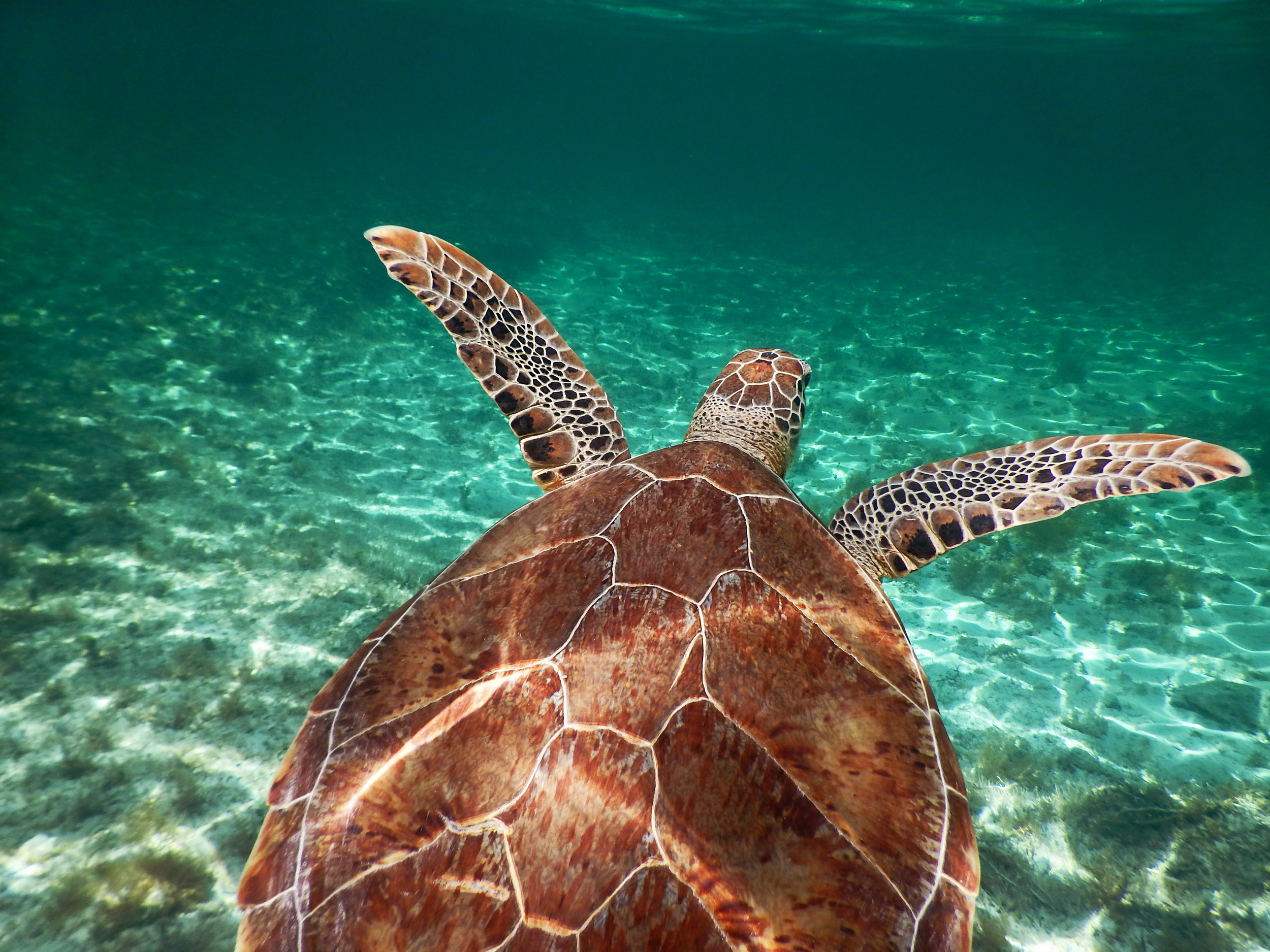 A green sea turtle ( Chelonia mydas ) off the coast of Nassau.