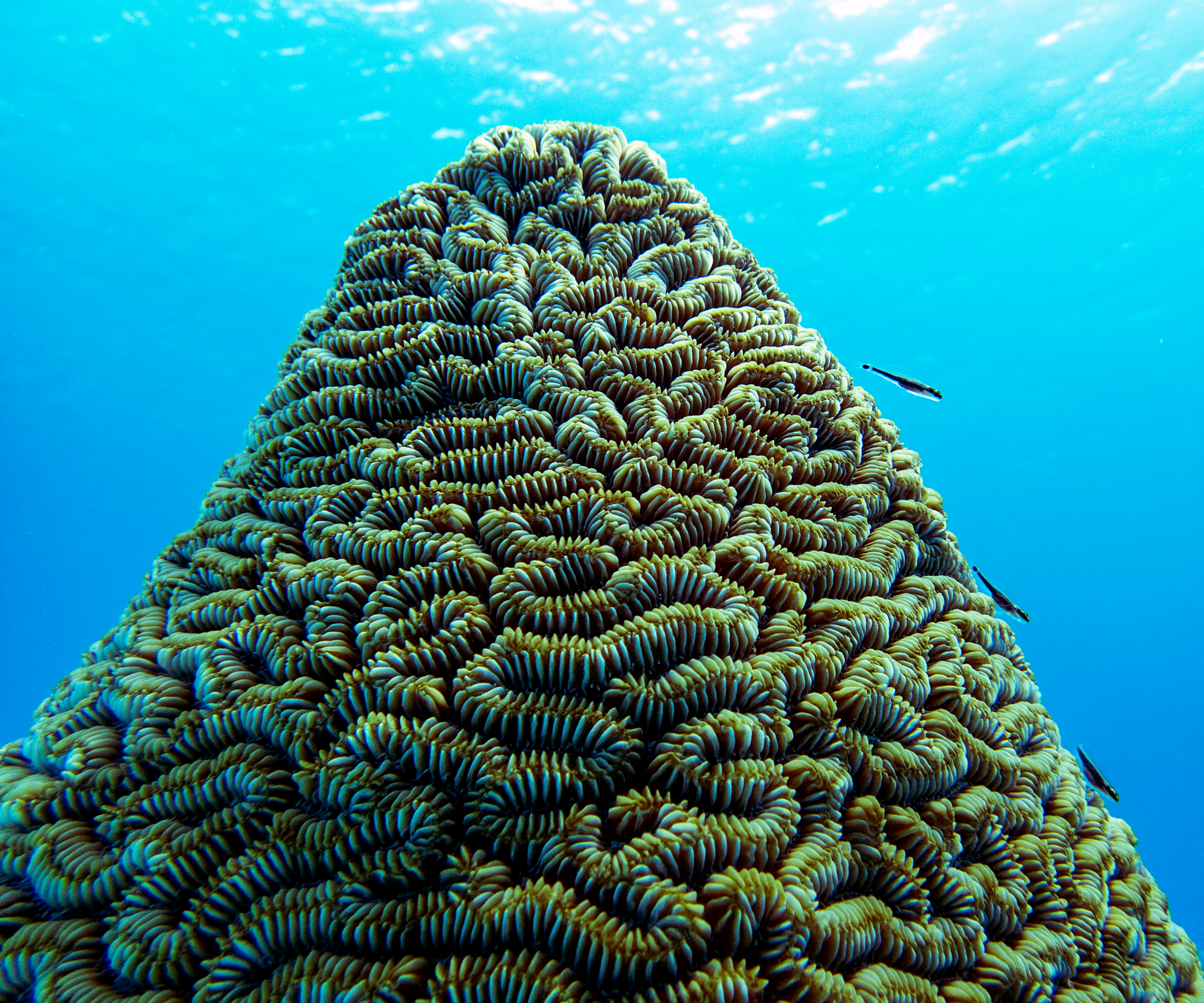 A maze coral ( Meandrina meandrites ) colony near Eleuthera with tiny blennies along its side.