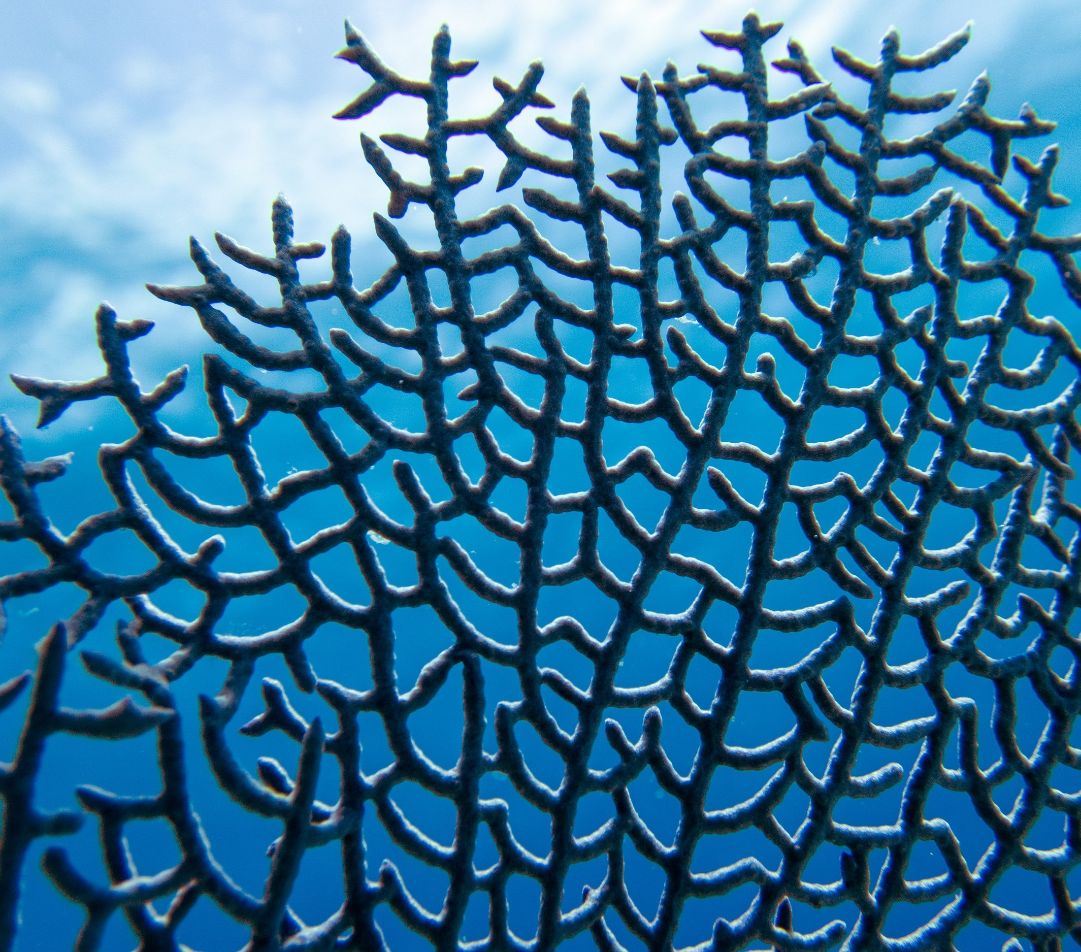 Intricate details of a sea fan ( Gorgonia ventalina ) near Eleuthera.