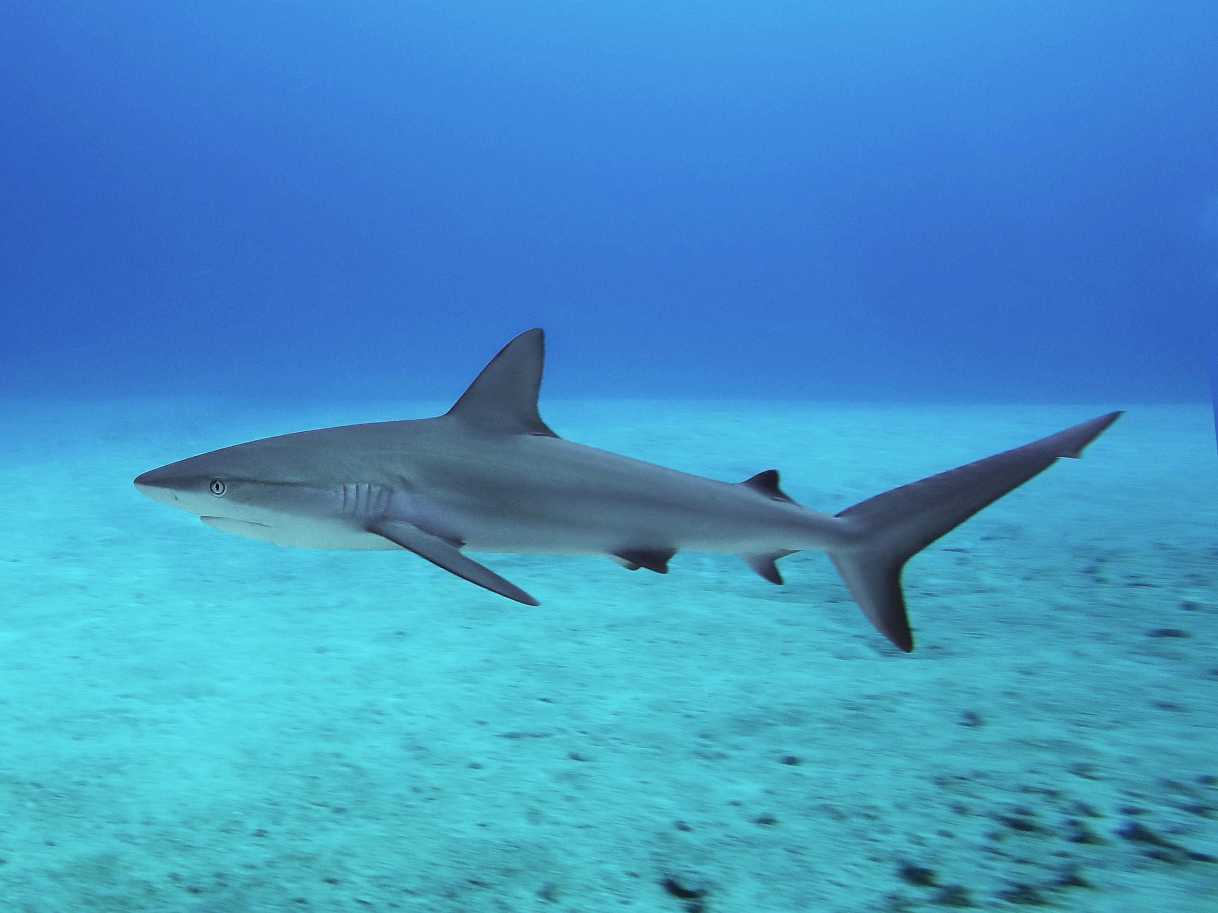 Caribbean reef shark ( Carcharhinus perezii ) off the coast of Nassau.
