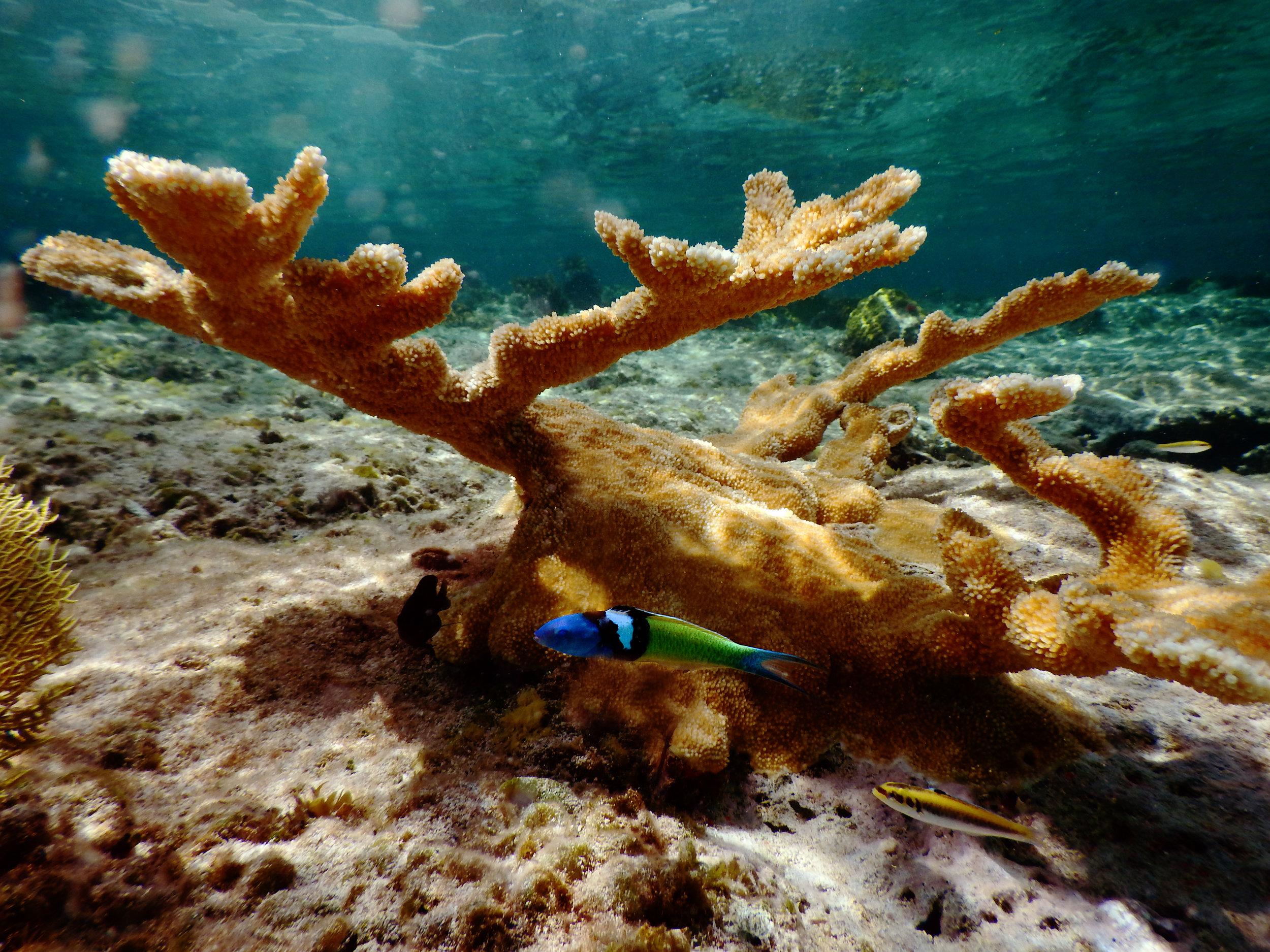A bluehead wrasse ( Thalassoma bifasciatum ) under an elkhorn coral ( Acropora palmata ) in Nassau.