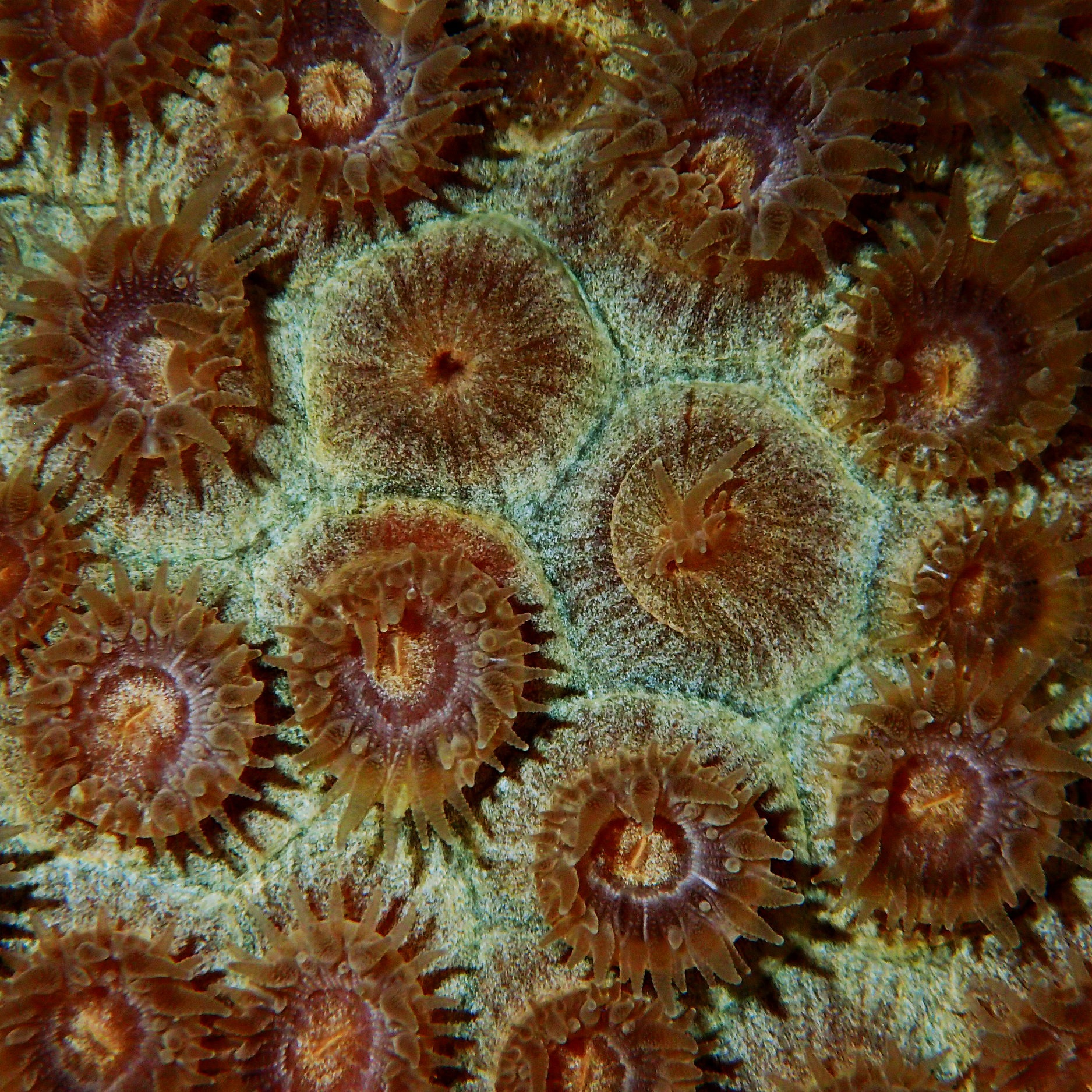 Great star coral ( Montastraea cavernosa ) polyps.