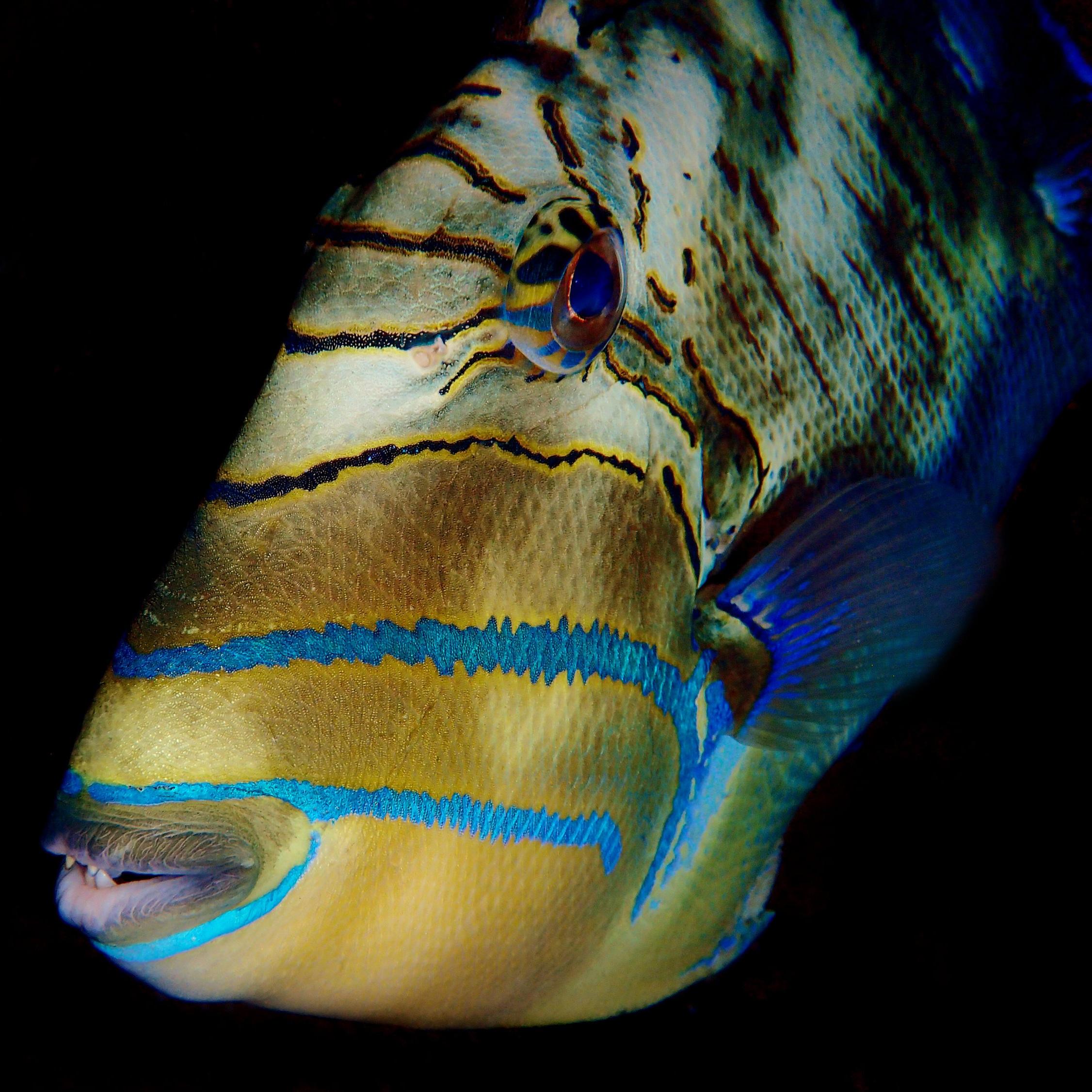 A queen triggerfish ( Balistes vetula ).