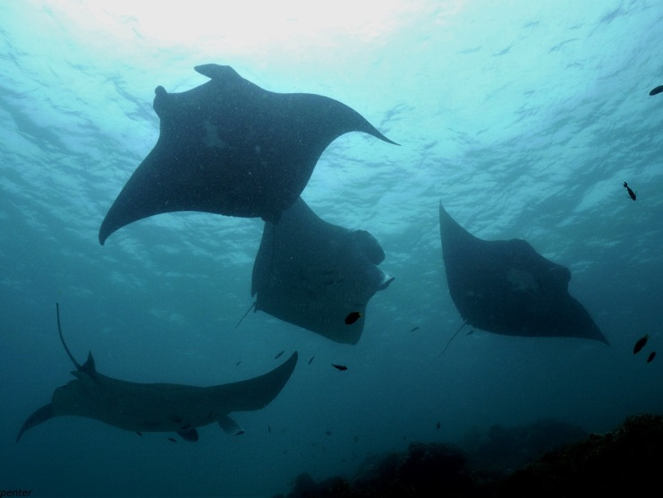 Manta rays visit cleaning stations together as a social activity. Photo credit: Michelle Carpenter