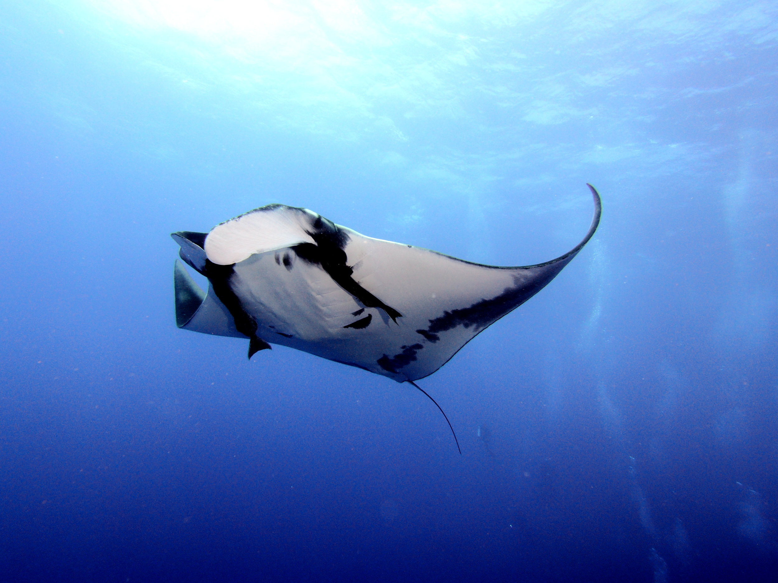 Cephalic fin or cephalic fun? - Insights into manta ray behavior from our resident expert in Mozambique