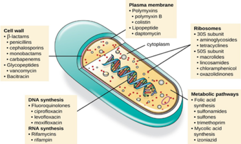Antibiotics target all different parts of and processes in the bacterial cell. *Note: ribosomes are proteins that are important for making other proteins (are Inception jokes still cool? Cause that's Protein-ception). Image credit: Lumen Microbiology