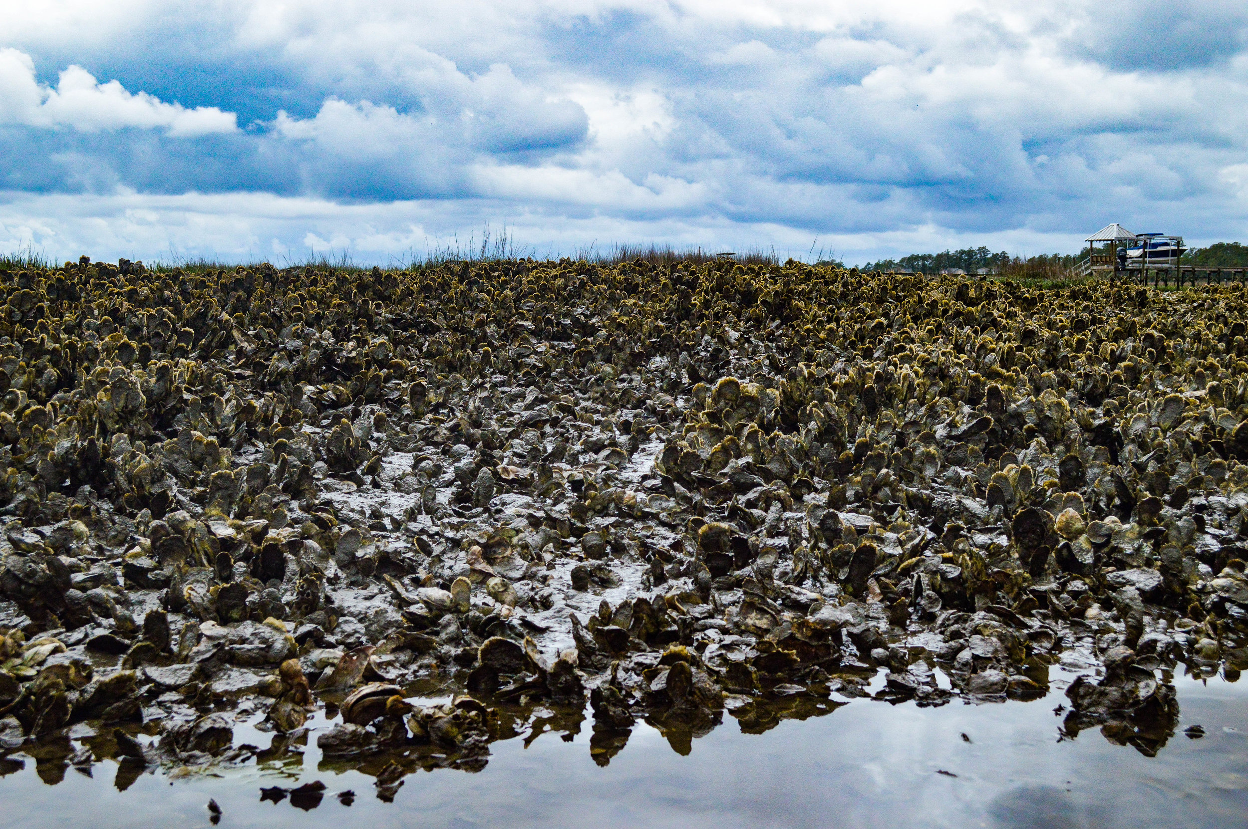 Oysters provide a critical ecosystem service to watersheds by 'filtering' out contaminants and pollutants from the water.