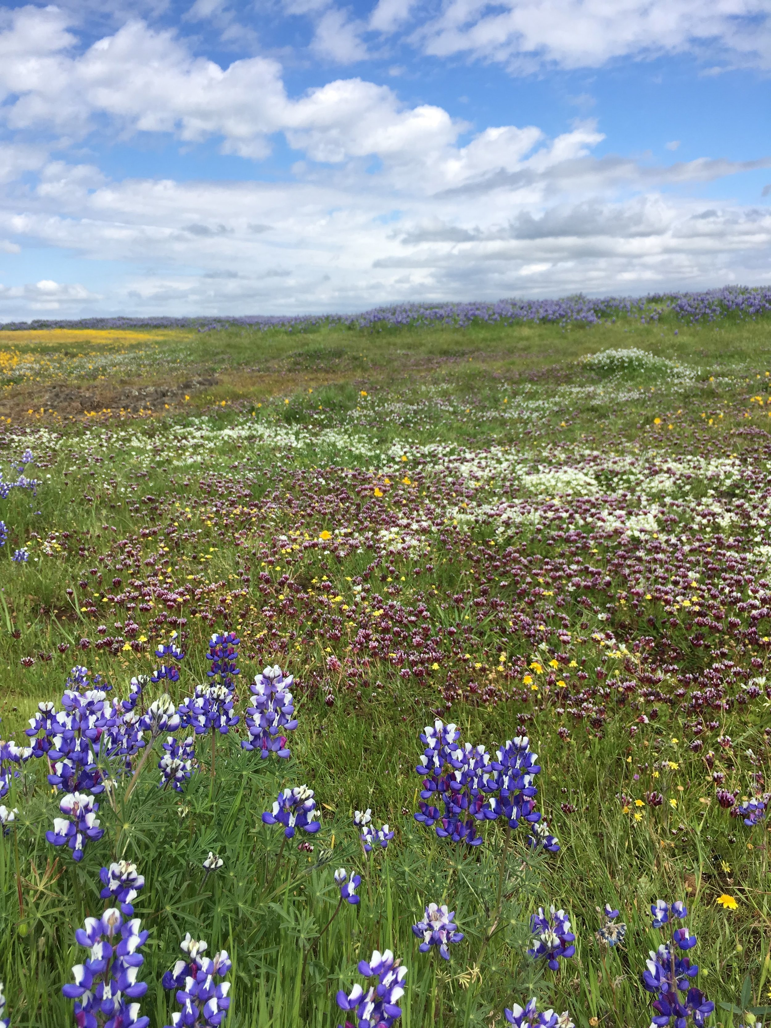 North Table Mountain, CA, April 2019. The super bloom draws thousands of visitors and boasts some of the highest plant diversity in California grasslands. Restoration ecology is about conserving these landscapes and creating more of them.