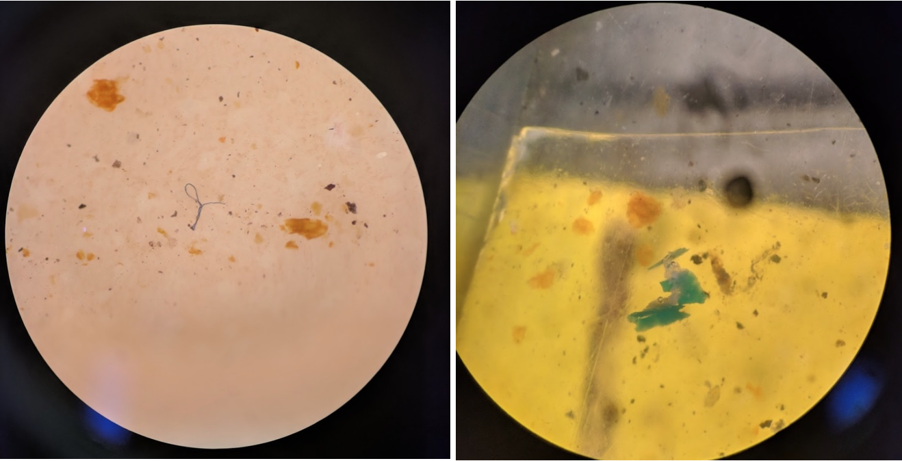 Microplastics come in many shapes and sizes: a blue micro fiber on the left, and a plastic pellet on the right from samples taken in Bodega Marine Reserve.  All photo credits: Alisha Saley