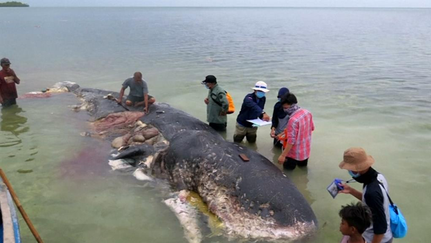Sperm whale found dead in Indonesia with plastics in its stomach. Photo credit: Reuters